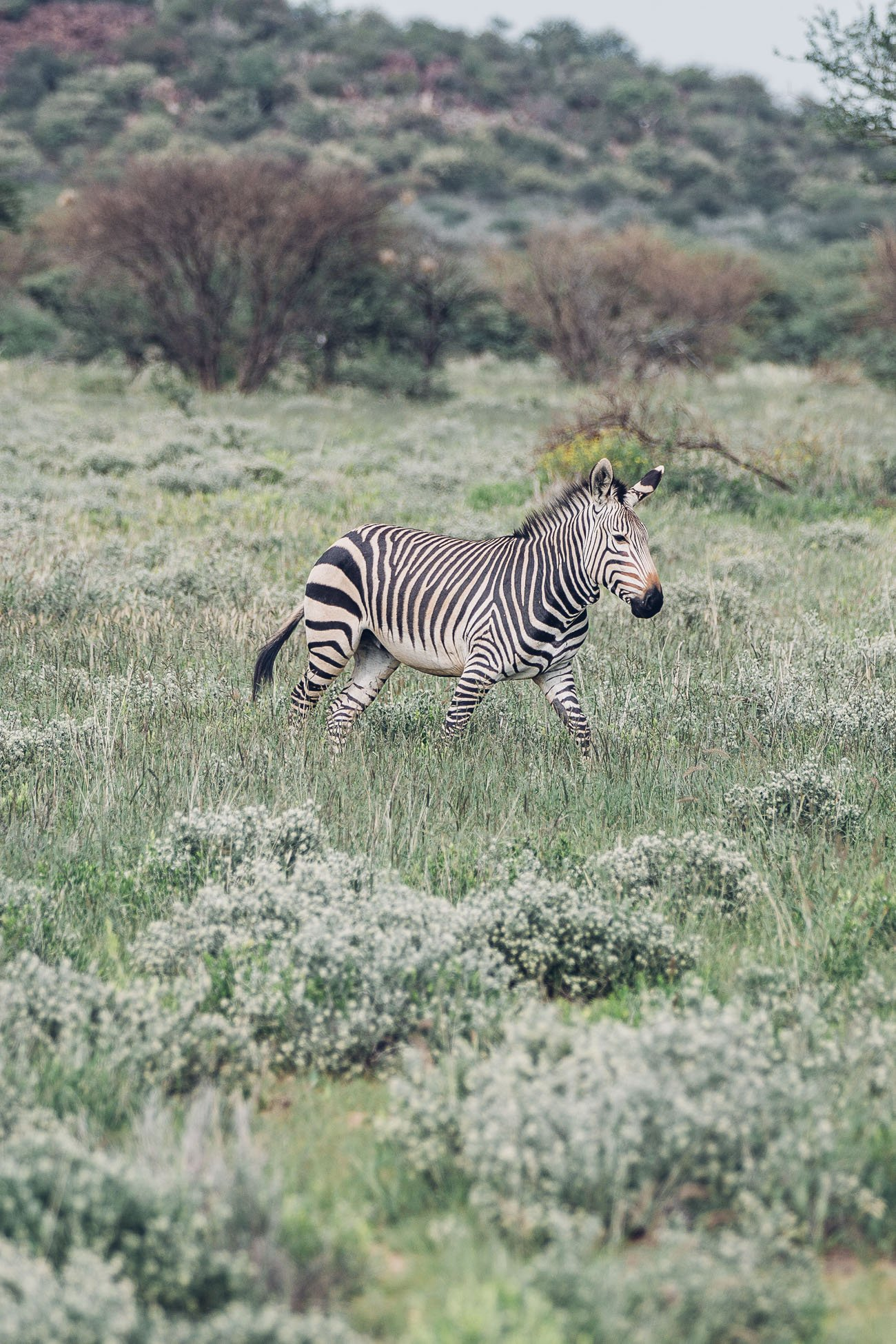 Zebra at a Safari in Namibia