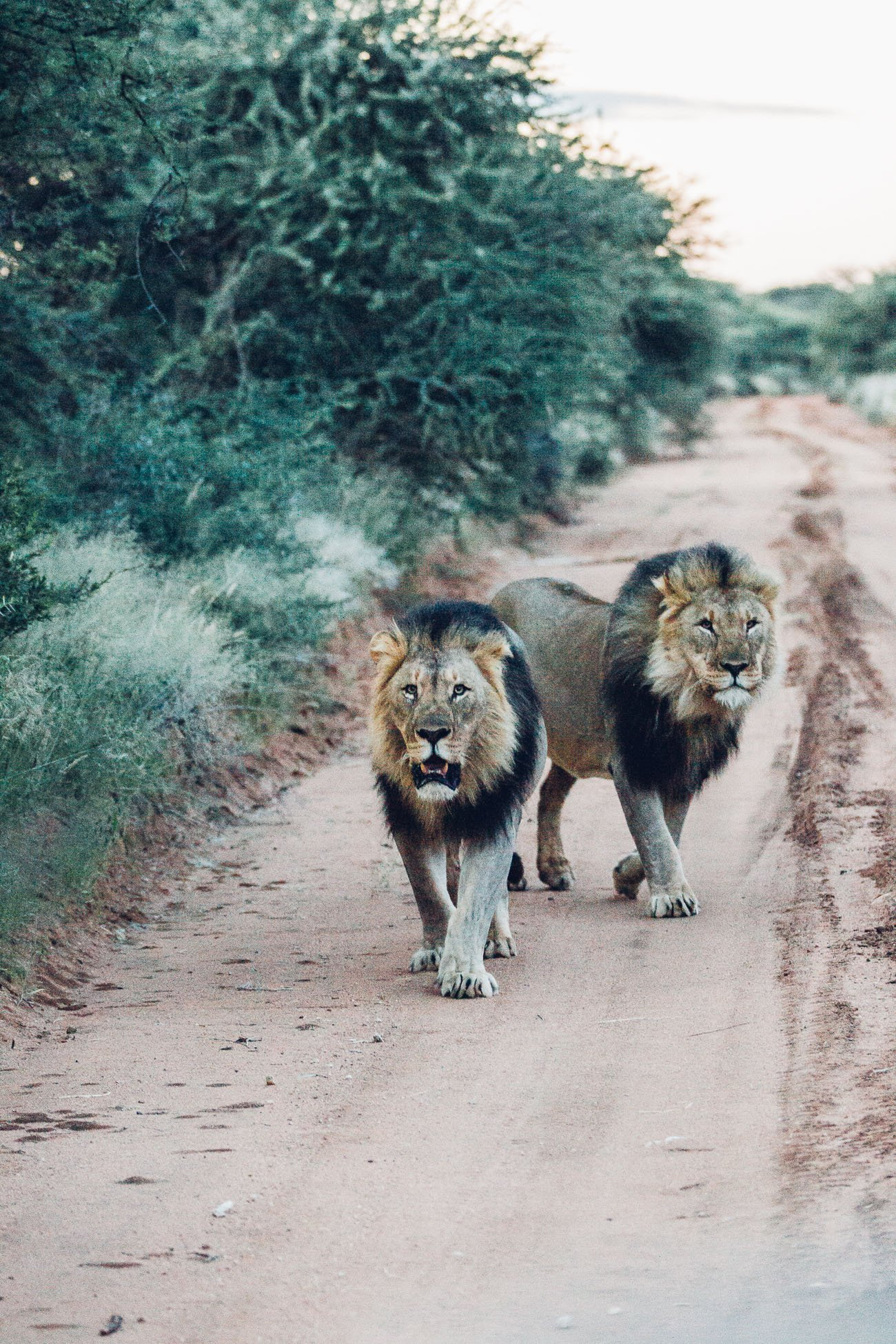Lion brothers chasing our car