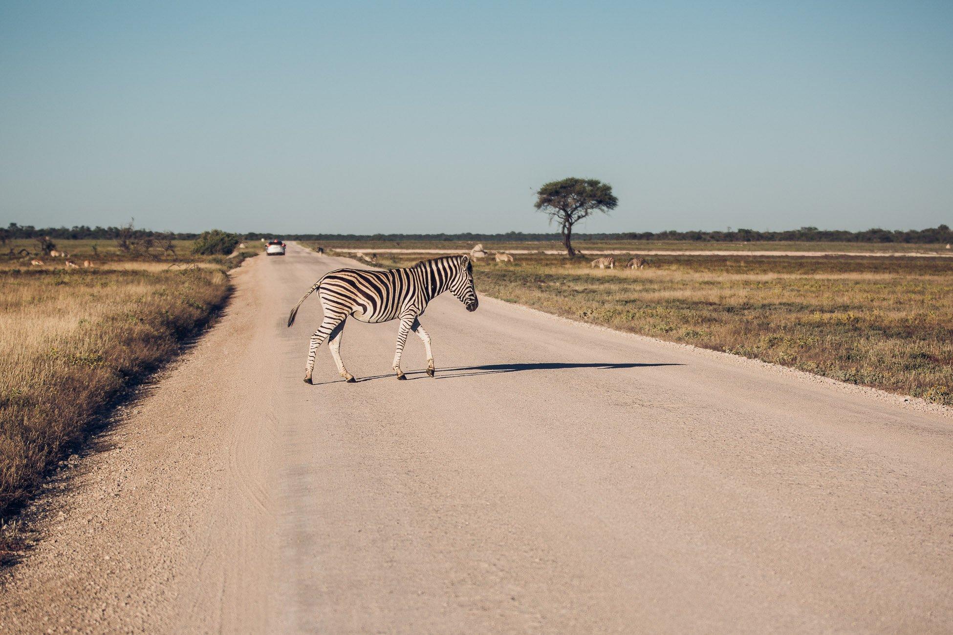Zebra crossing a road at Etosha National Park