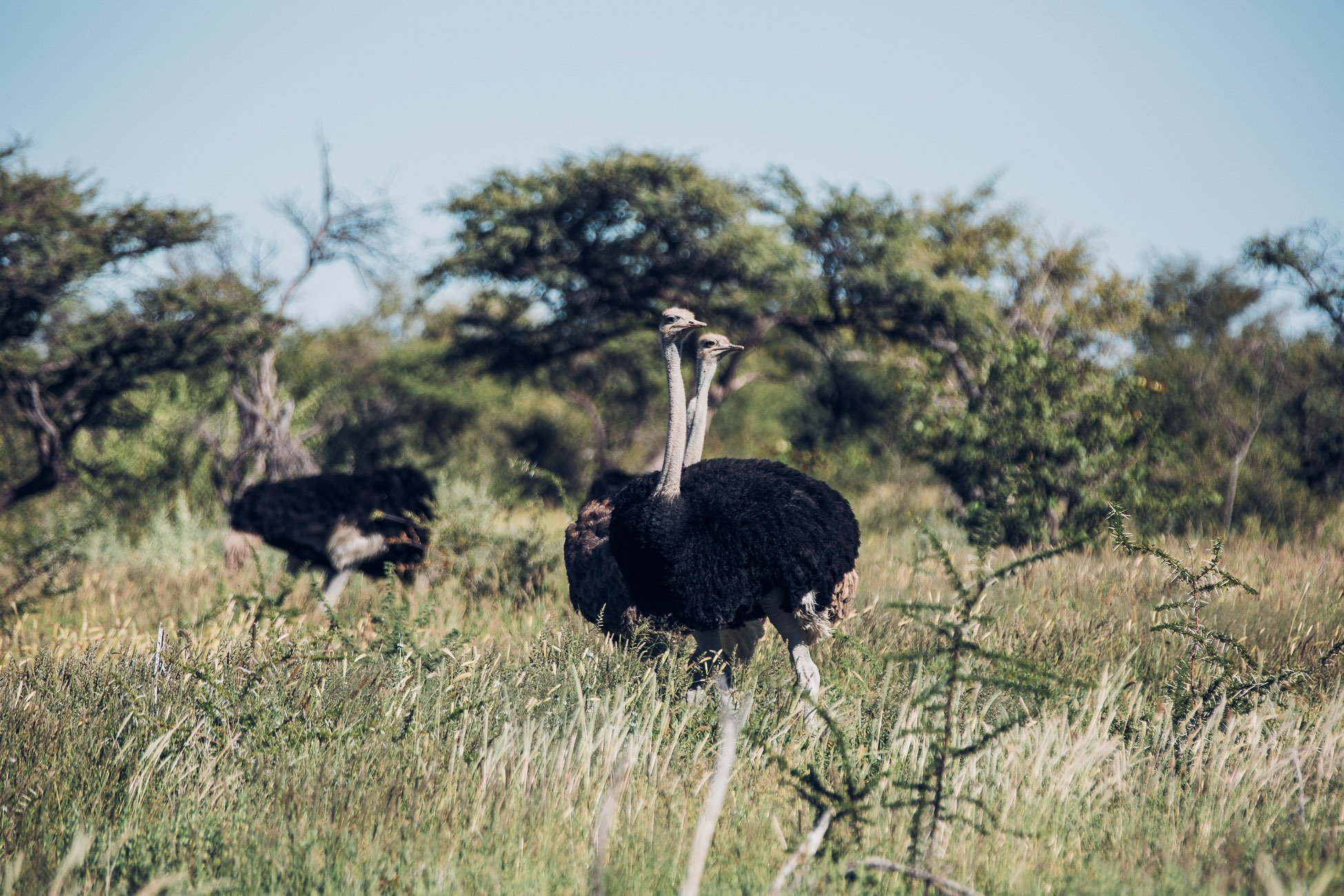 Ostrich at Etosha National Park