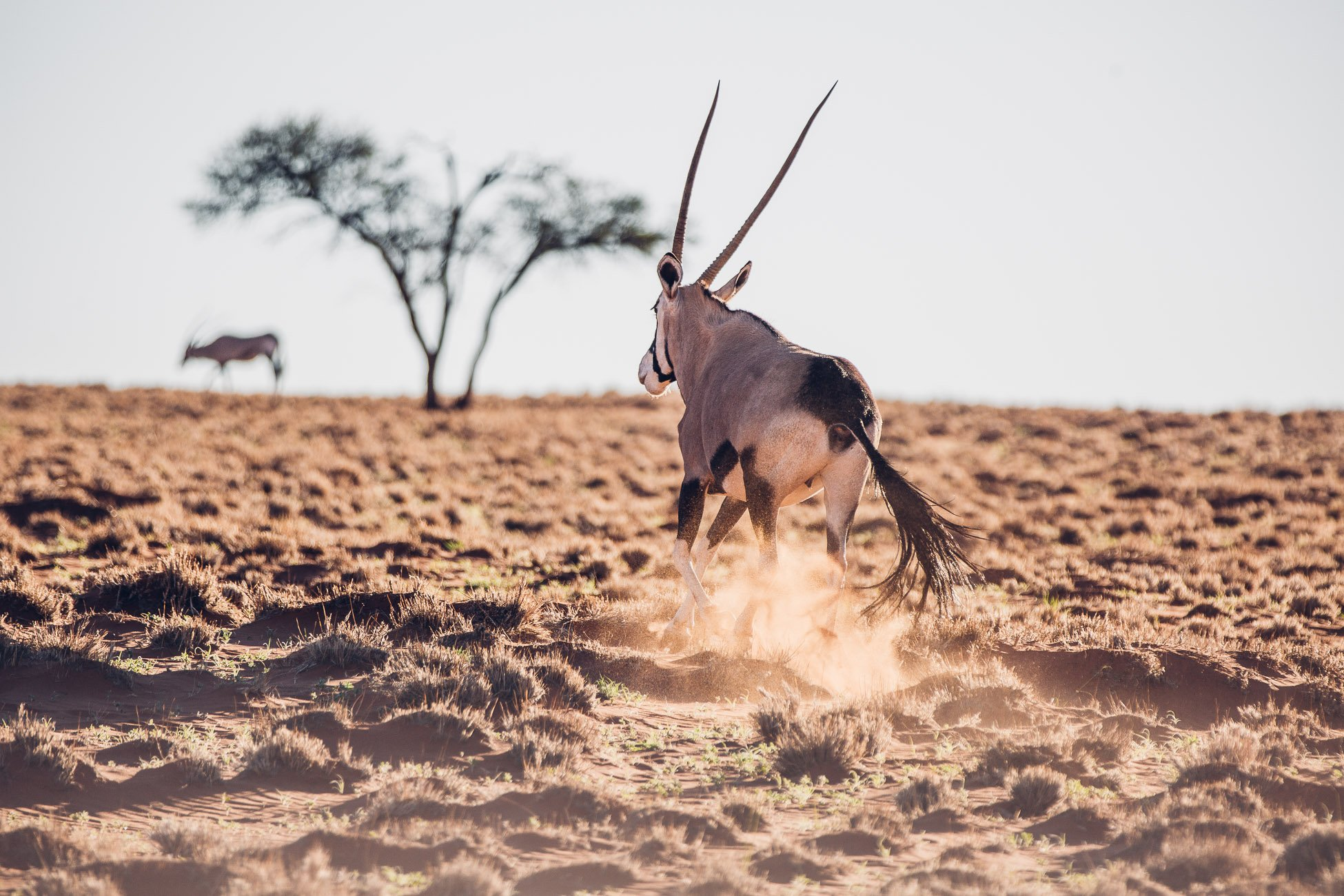 Oryx at Wolwedans