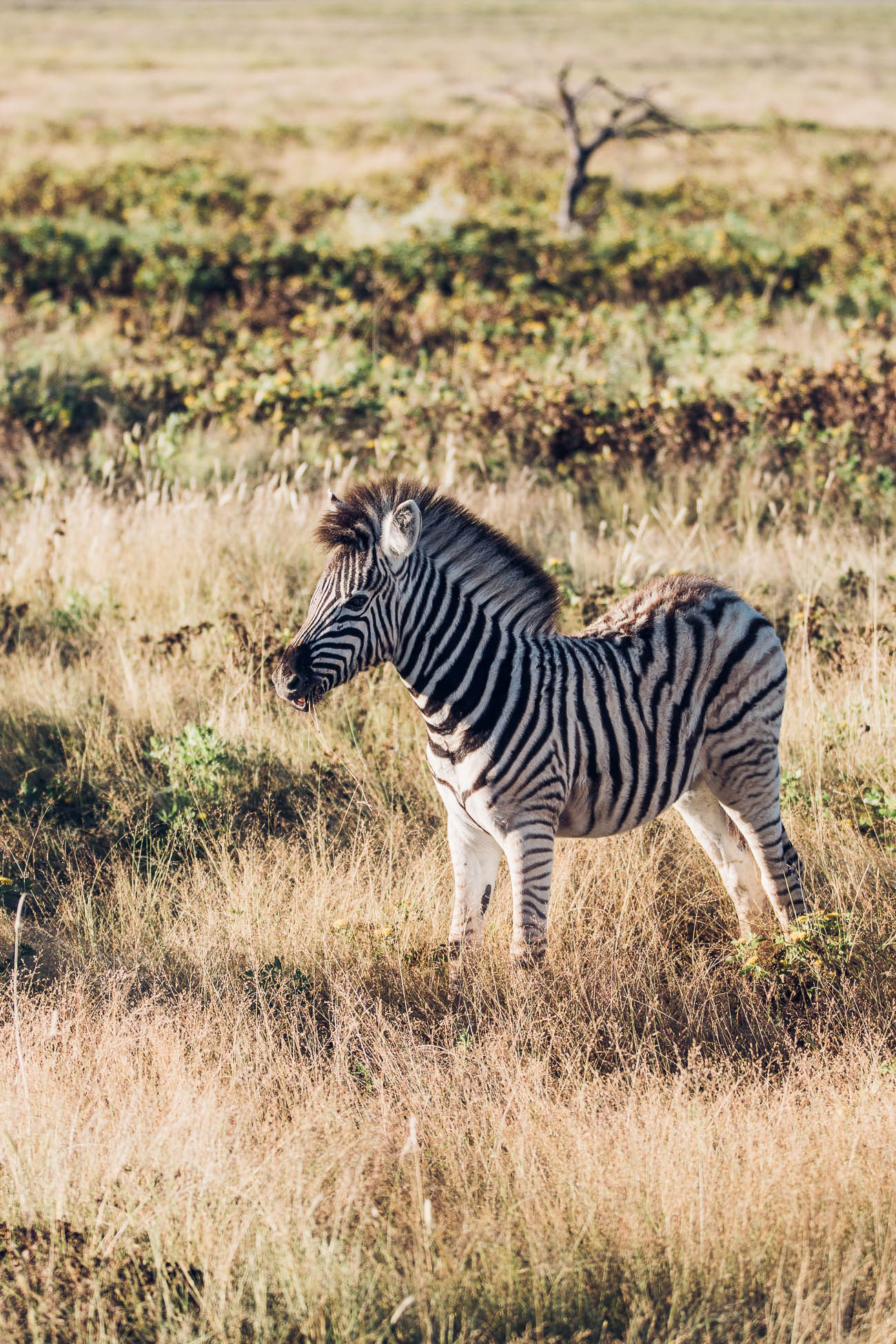 Zebra baby at Etosha National Park