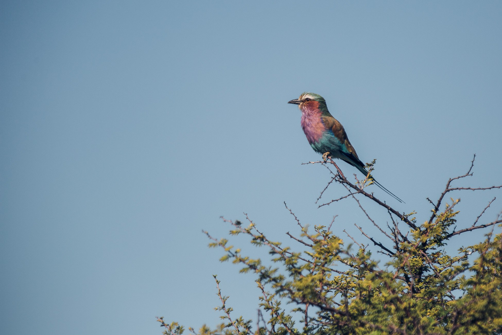 Lilac breasted roller at Etosha National Park
