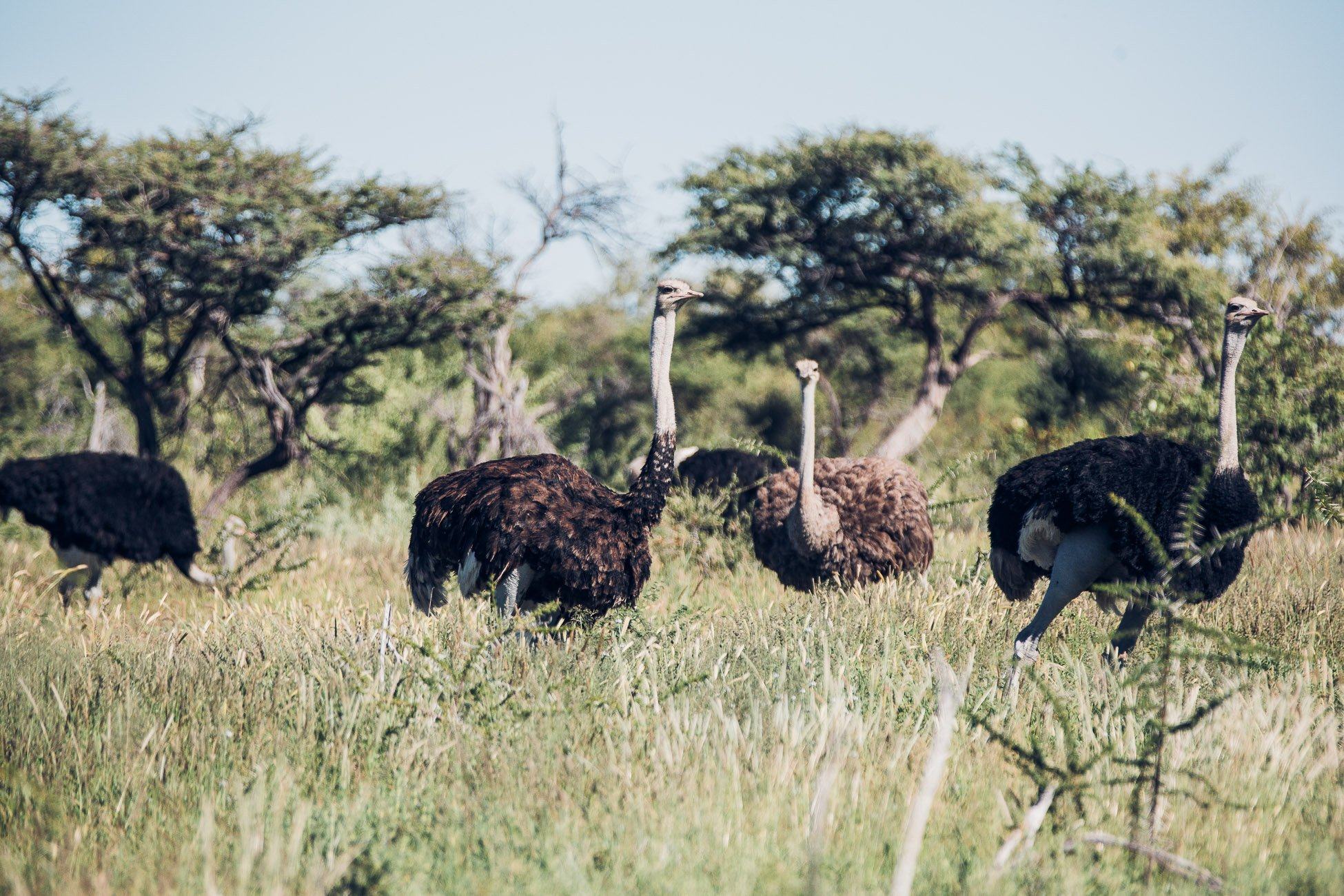 Ostriches at Etosha National Park