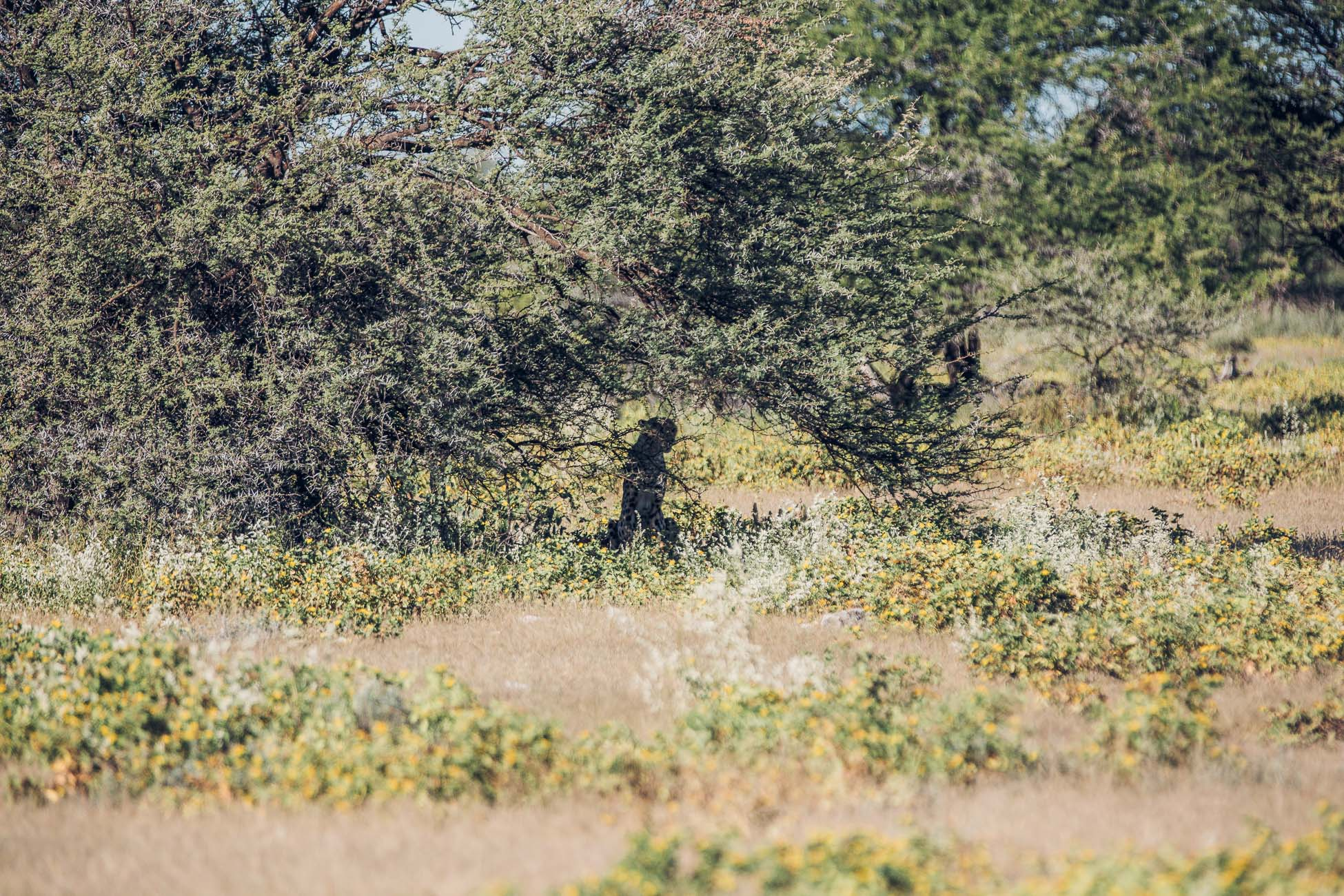 A cheetah at Etosha National Park