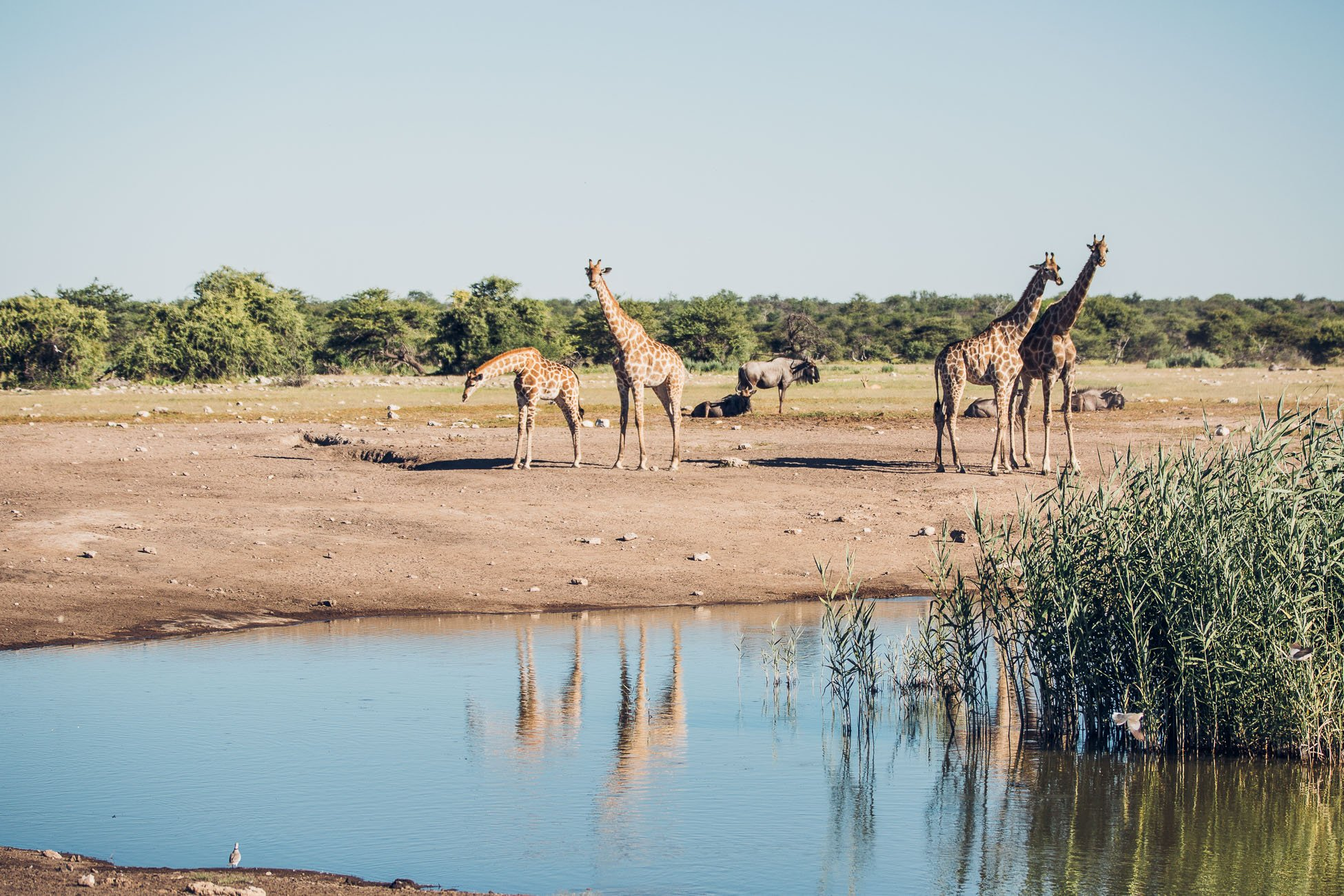 Giraffes at Etosha National Park