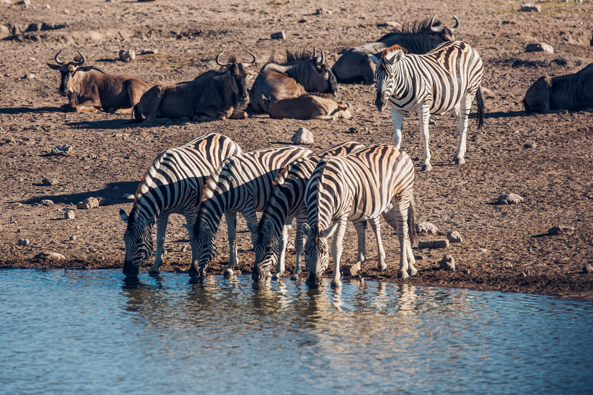 Zebras and Wildebeest at Etosha National Park