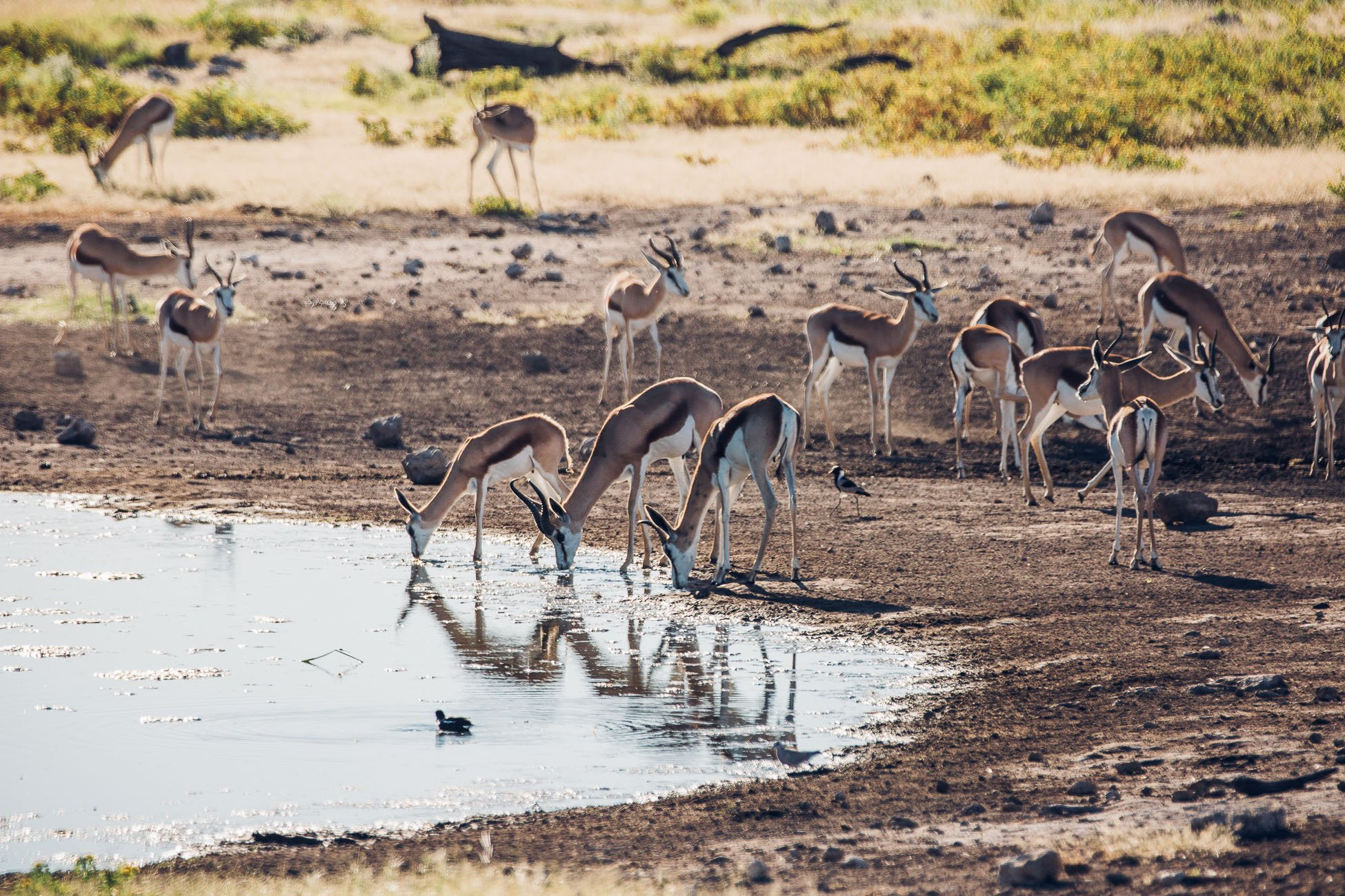 Antelopes at a waterhole at Etosha National Park