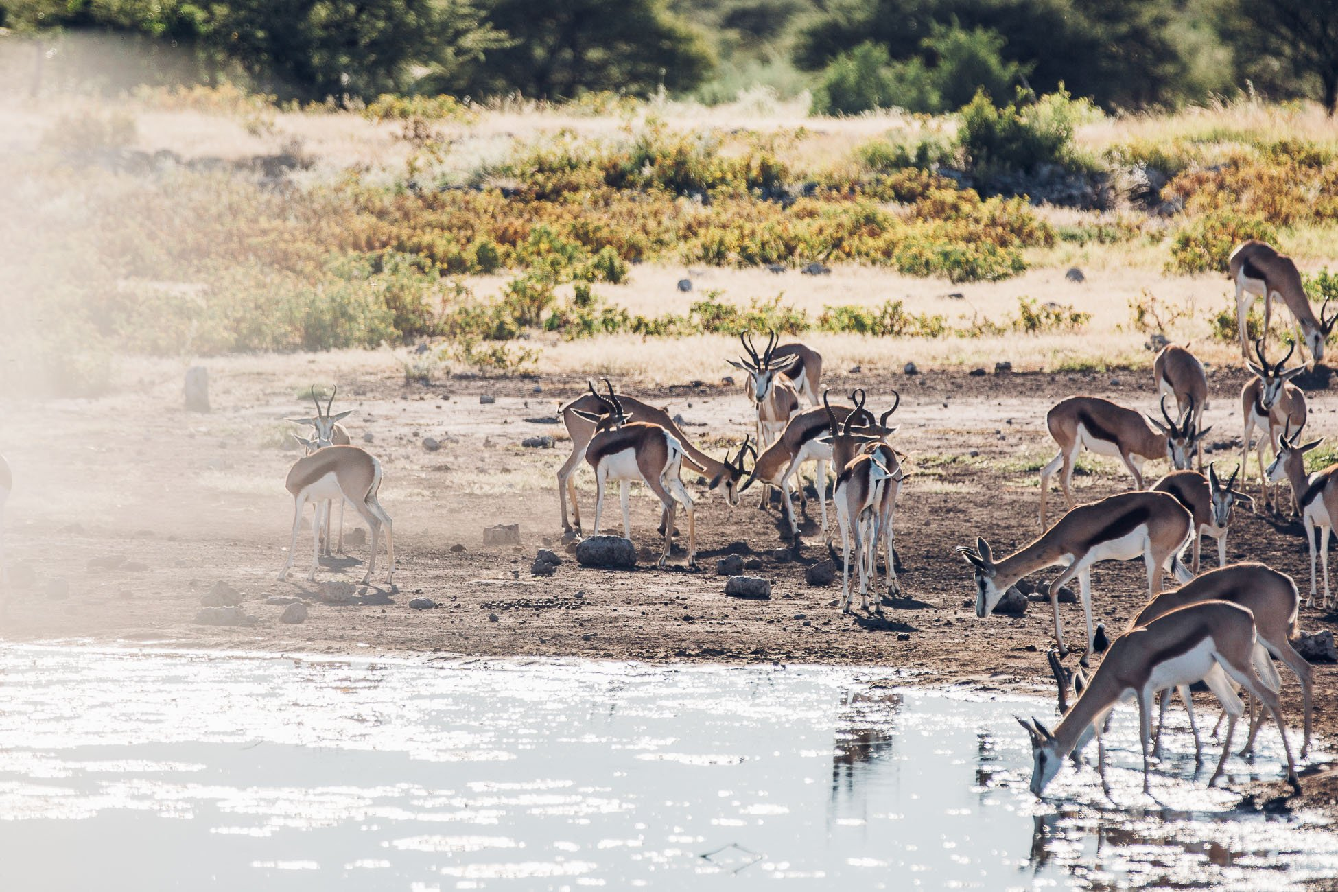 Antelopes at Etosha National Park