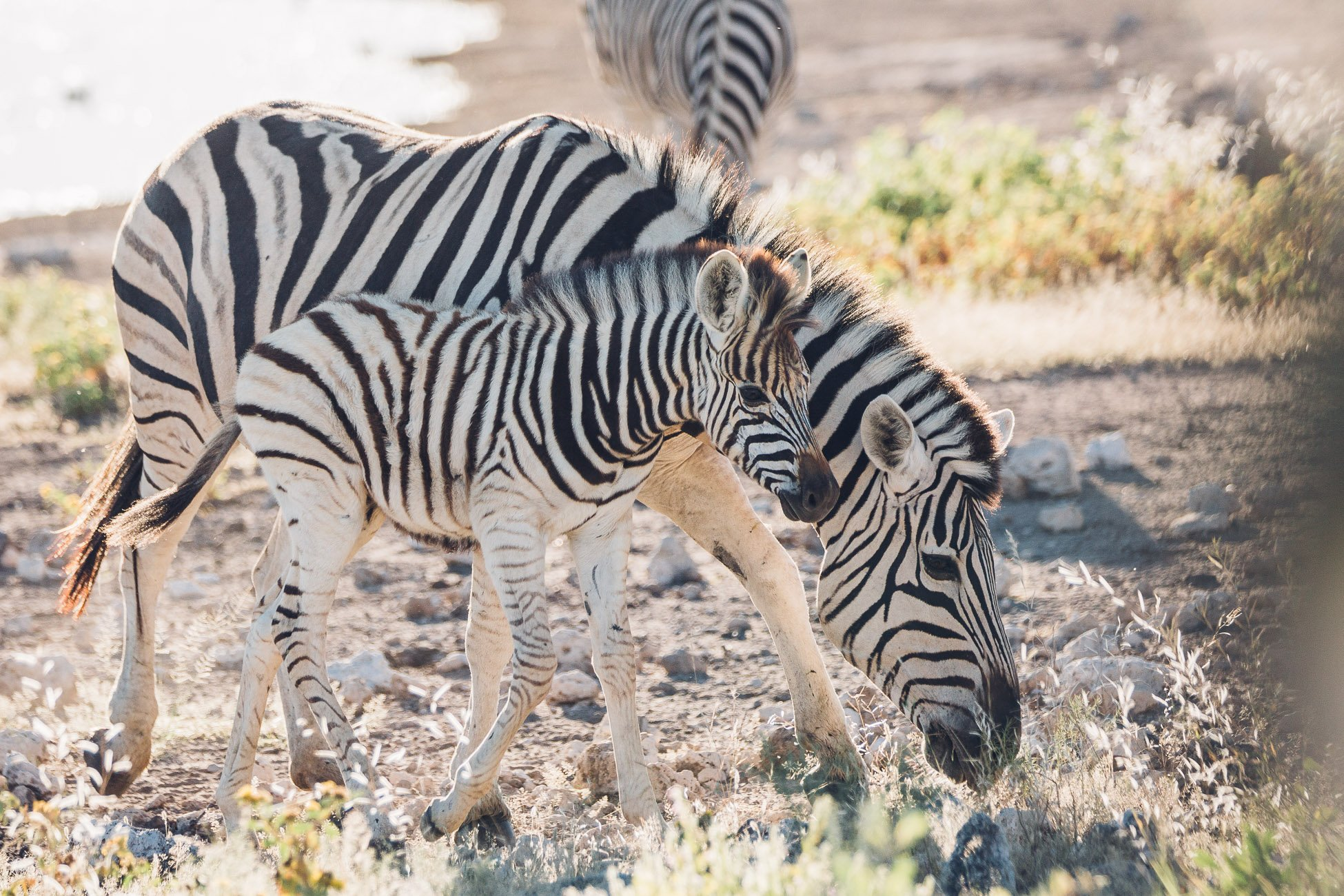 Baby Zebras playing at Etosha National Park