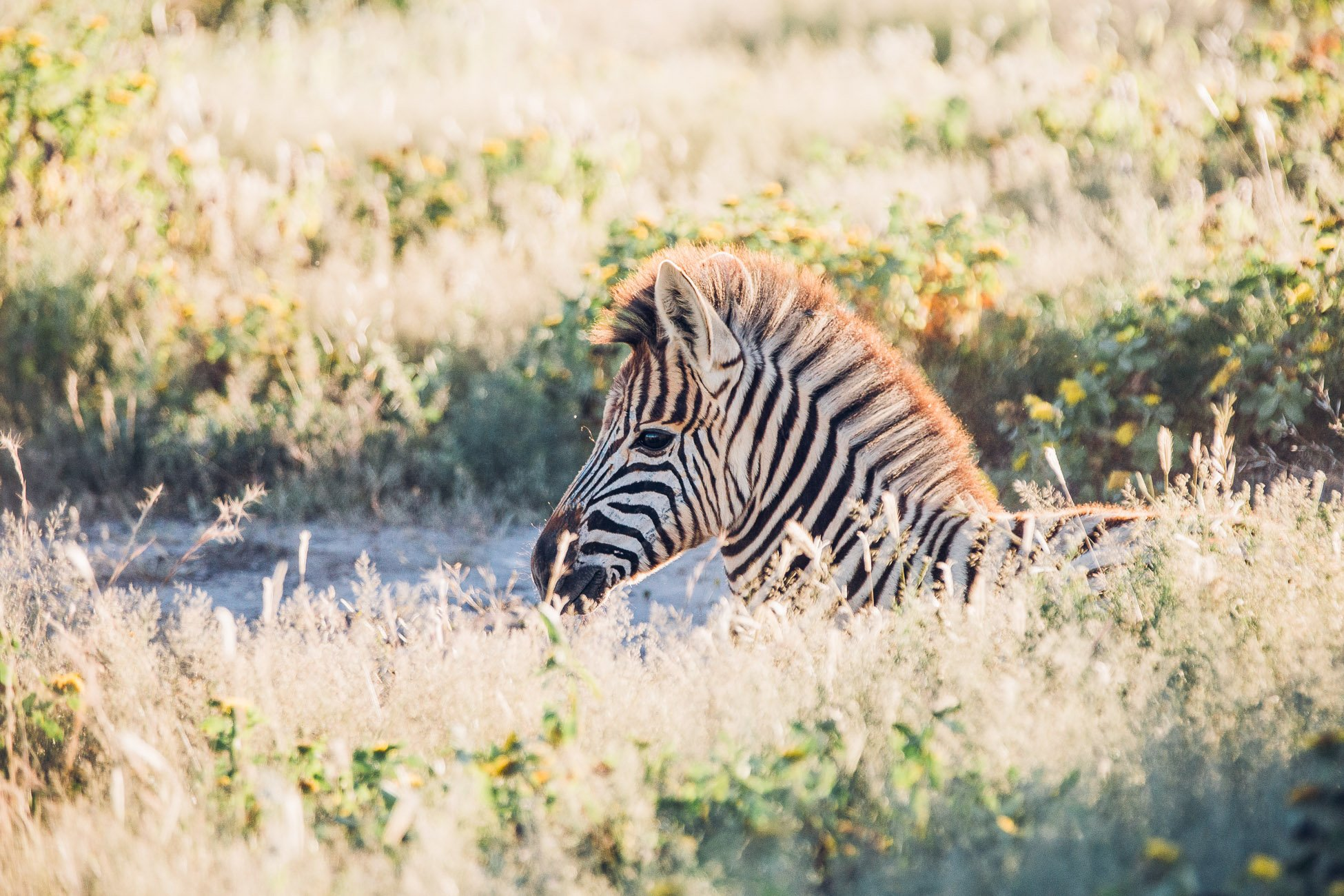 Baby zebra in Etosha National Park