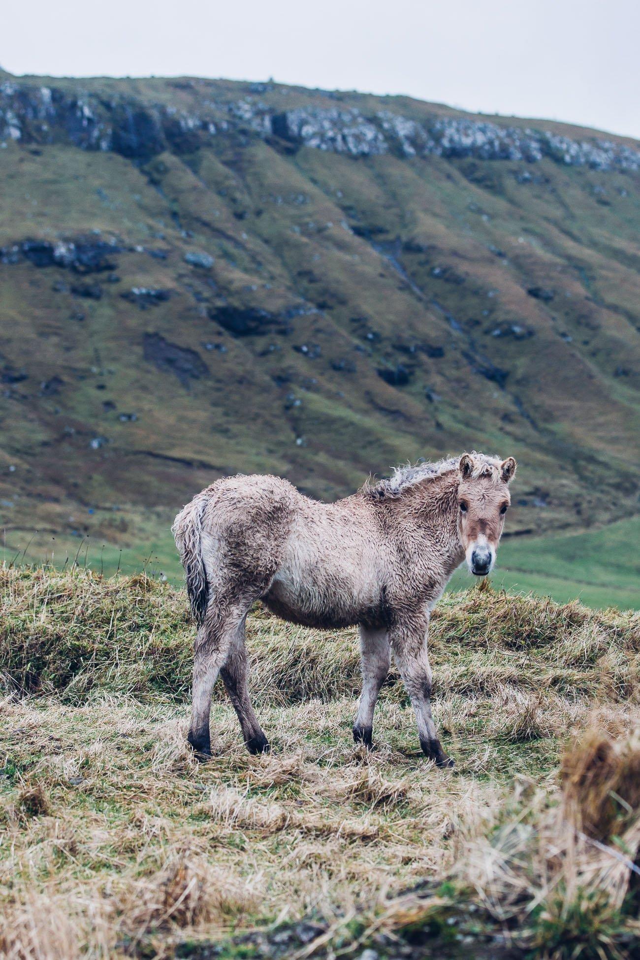 Faroe Islands horse