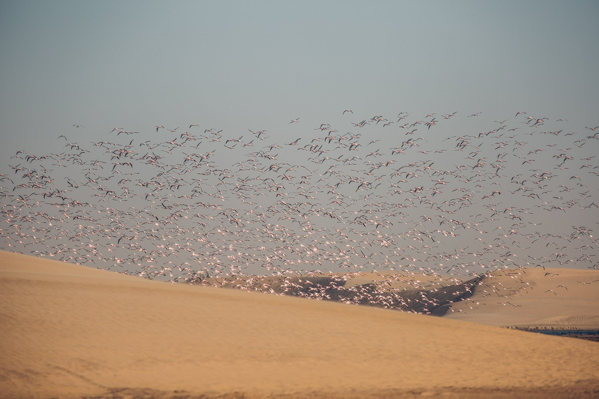 Flamingo Colony Walvis Bay Namibia