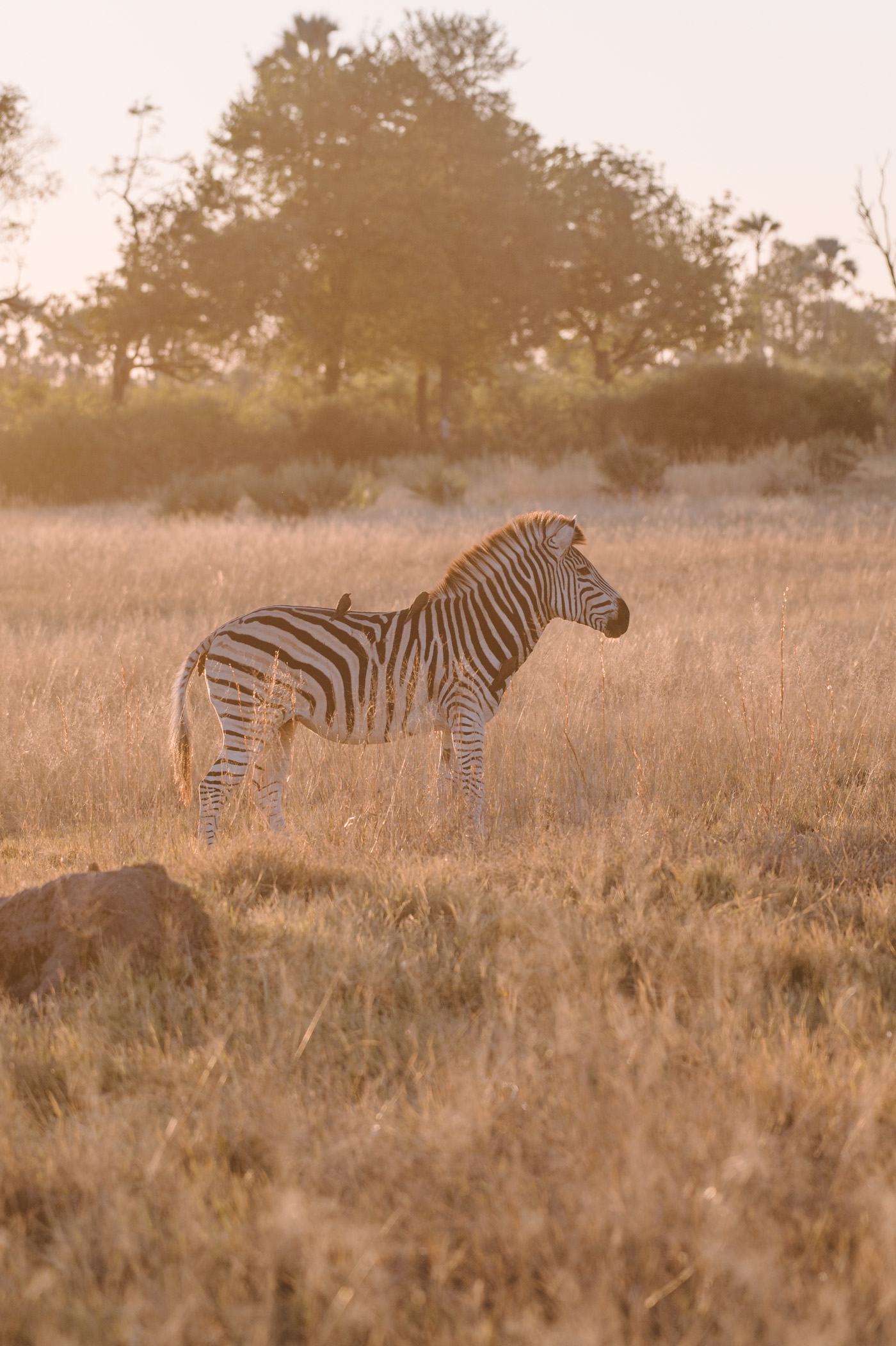 Zebra in the Okavango Delta in Botswana