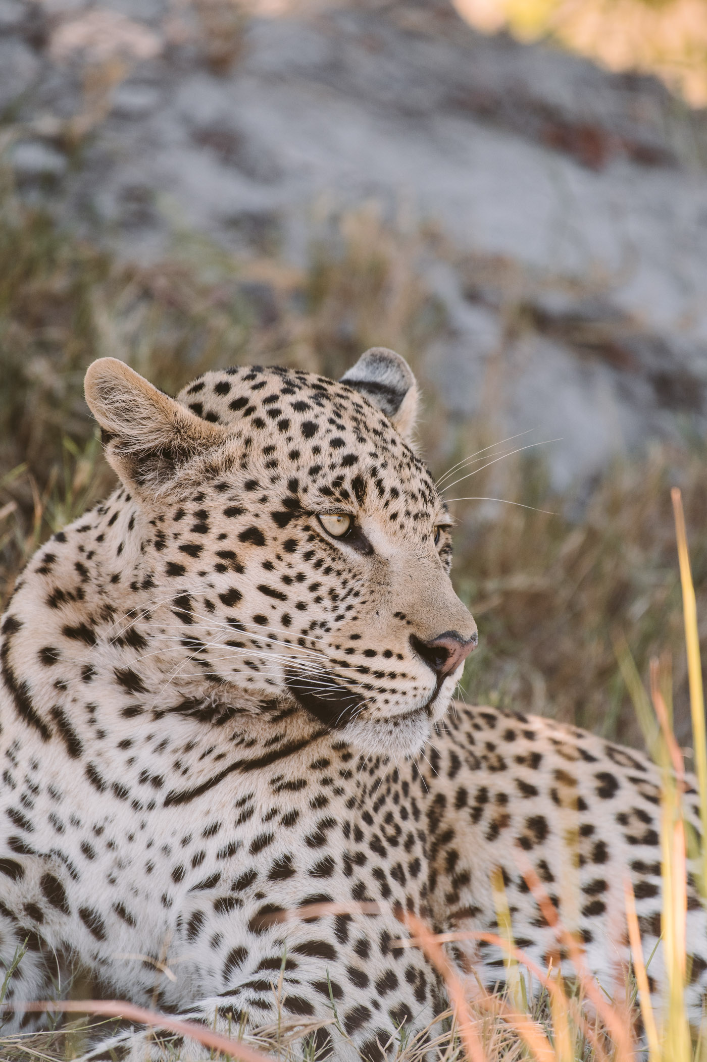A leopard in Chobe National Park Botswana