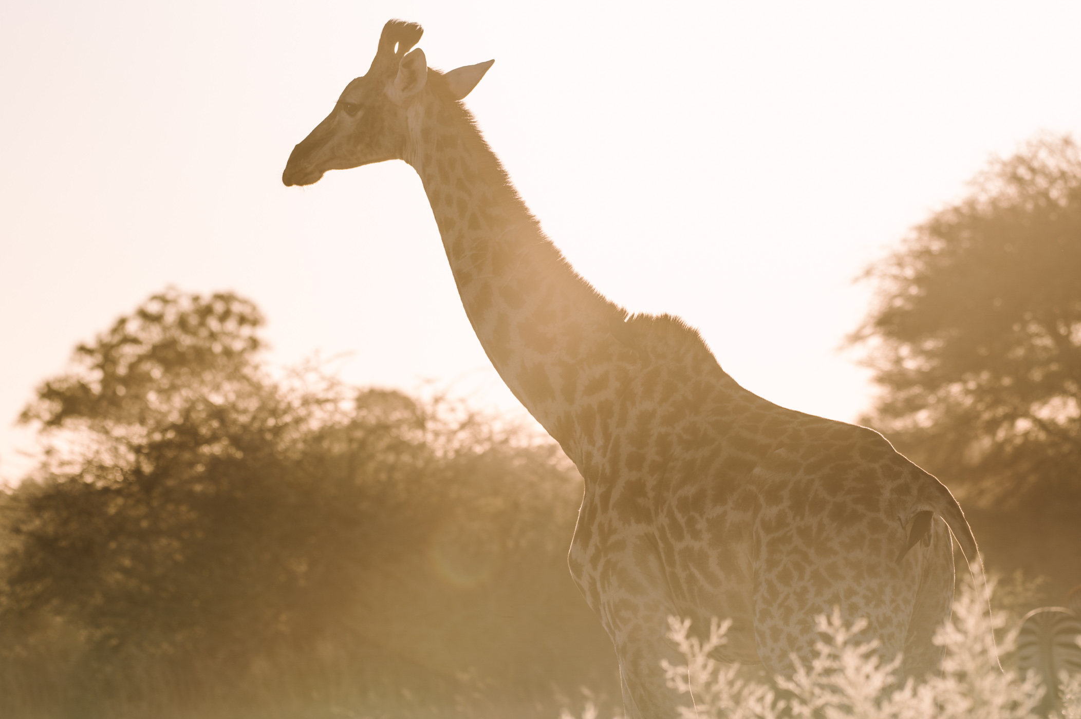 A giraffe in the Okavango Delta in Botswana
