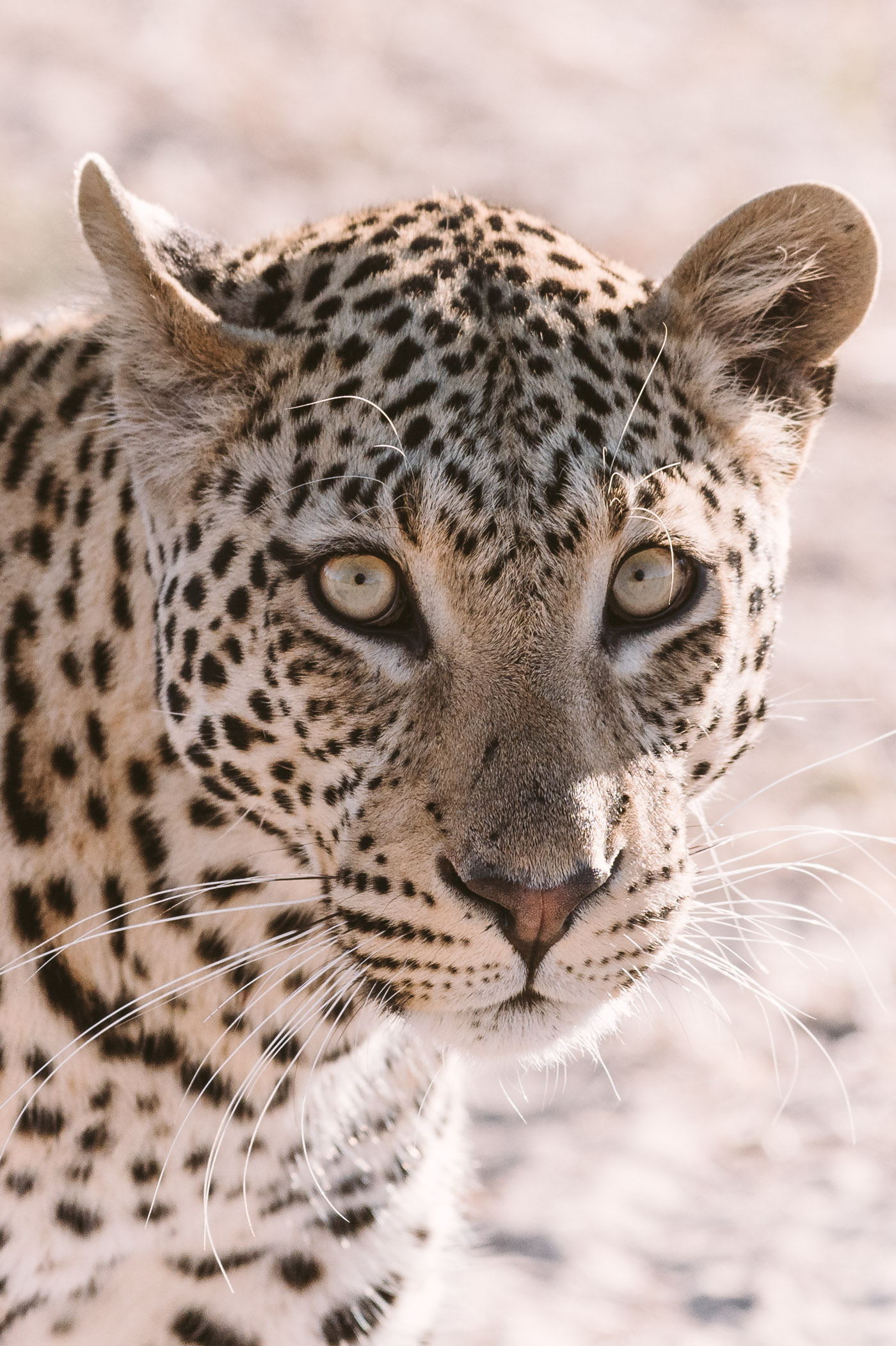 Leopard in Chobe National Park