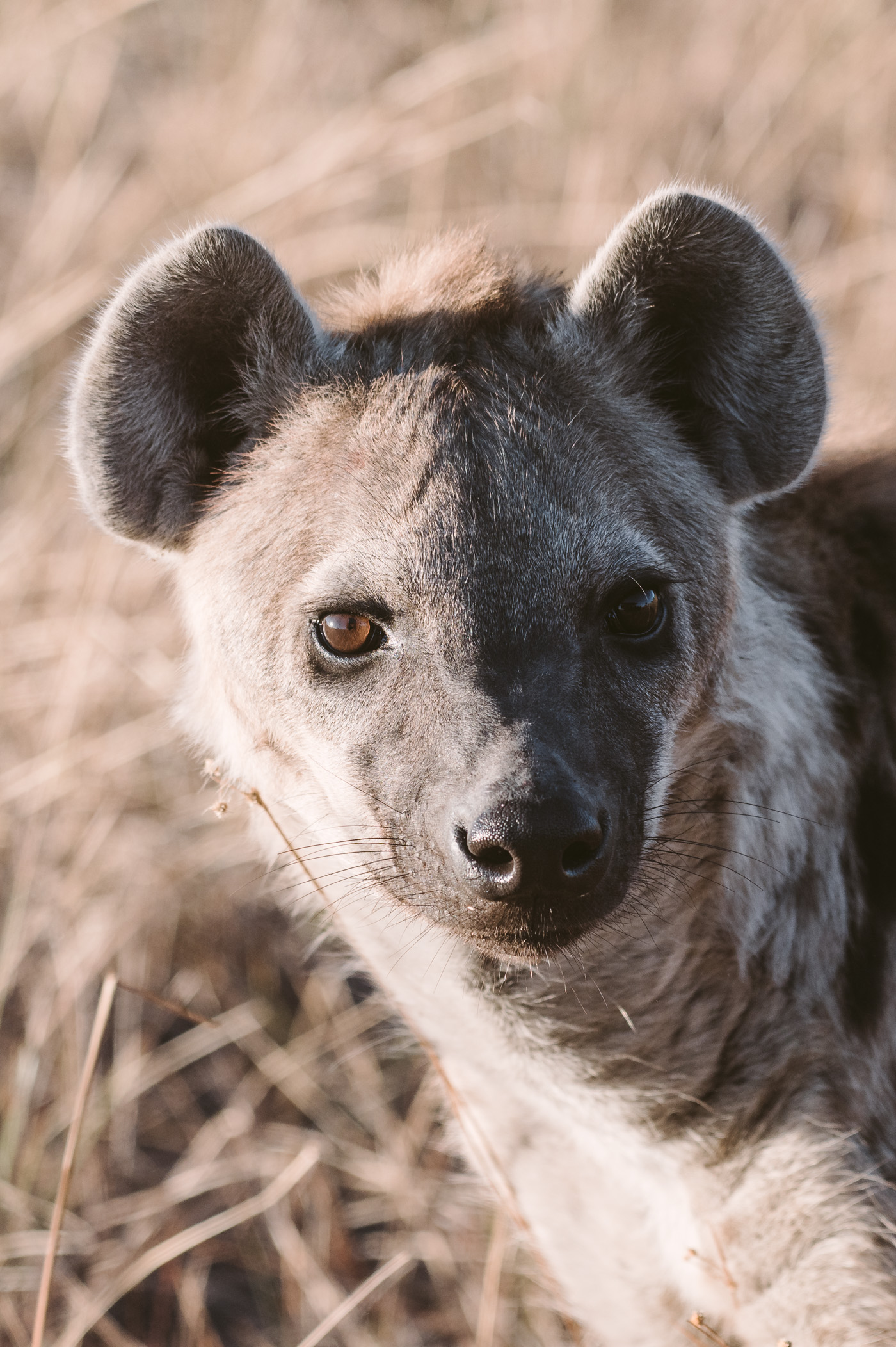 A hyena in the Okavango Delta