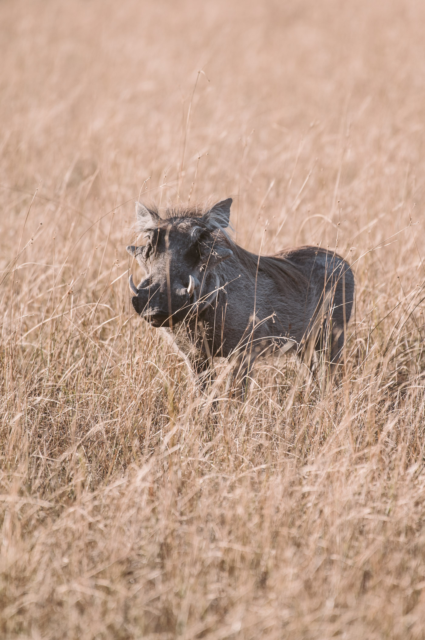 A wild hog in the Okavango Delta in Botswana