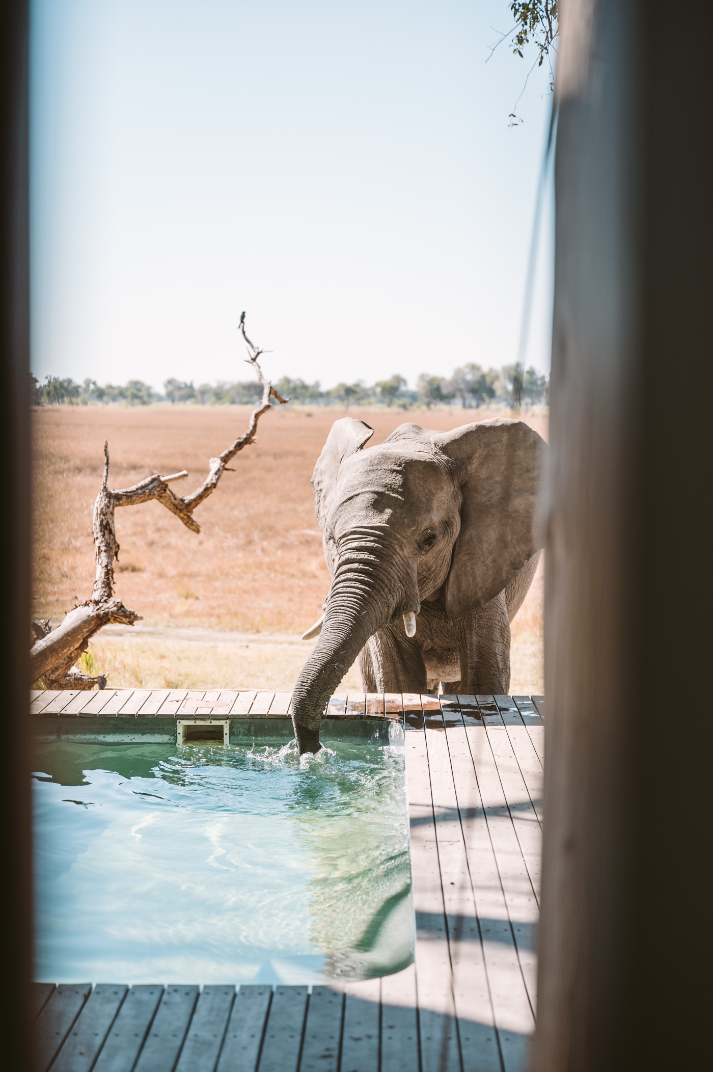 andBeyond Xaranna Okavango Delta Camp with elephant drinking from plunge pool