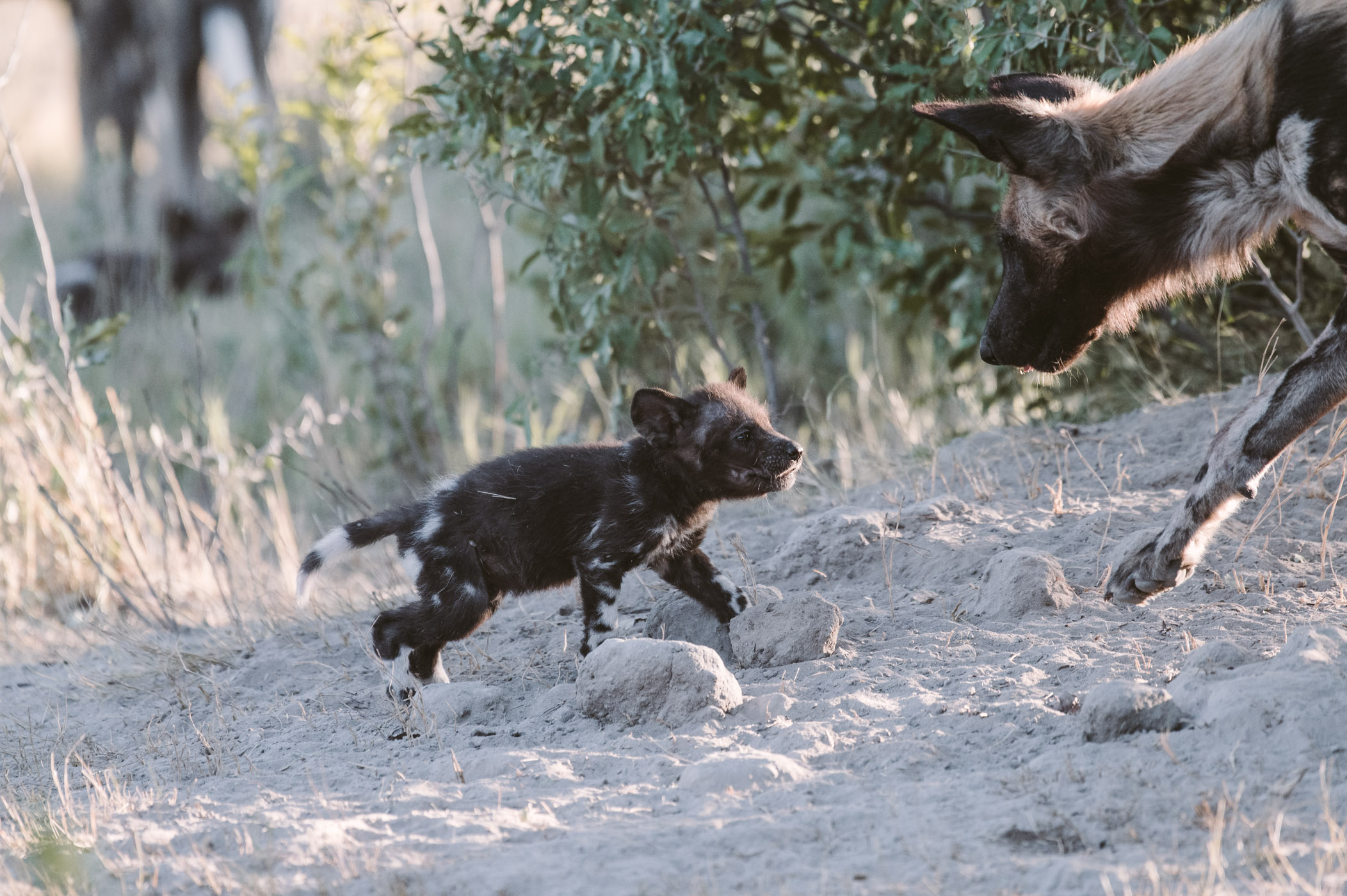 Wild dog pup in the Okavango Delta in Botswana