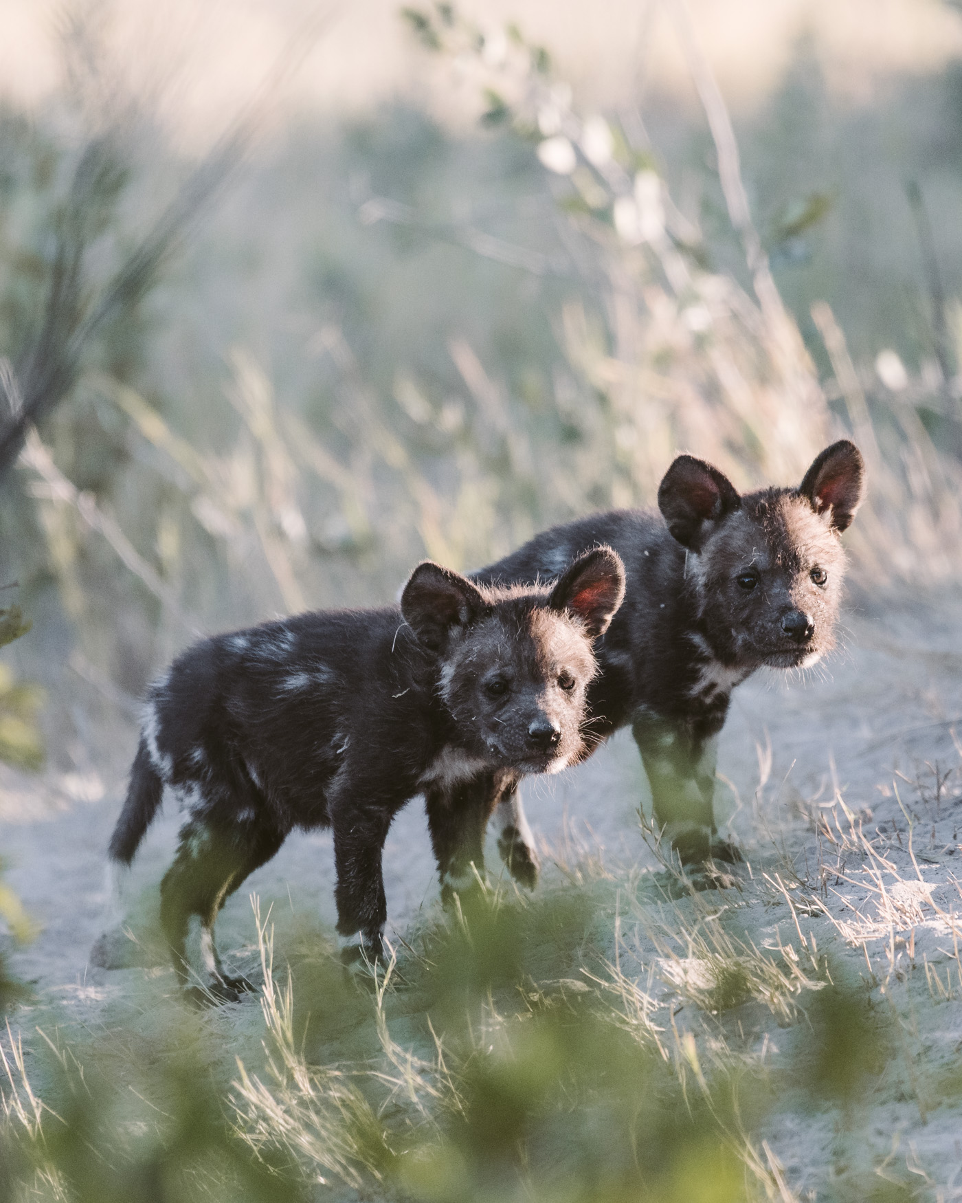 Wild dog pups in the Okavango Delta in Botswana