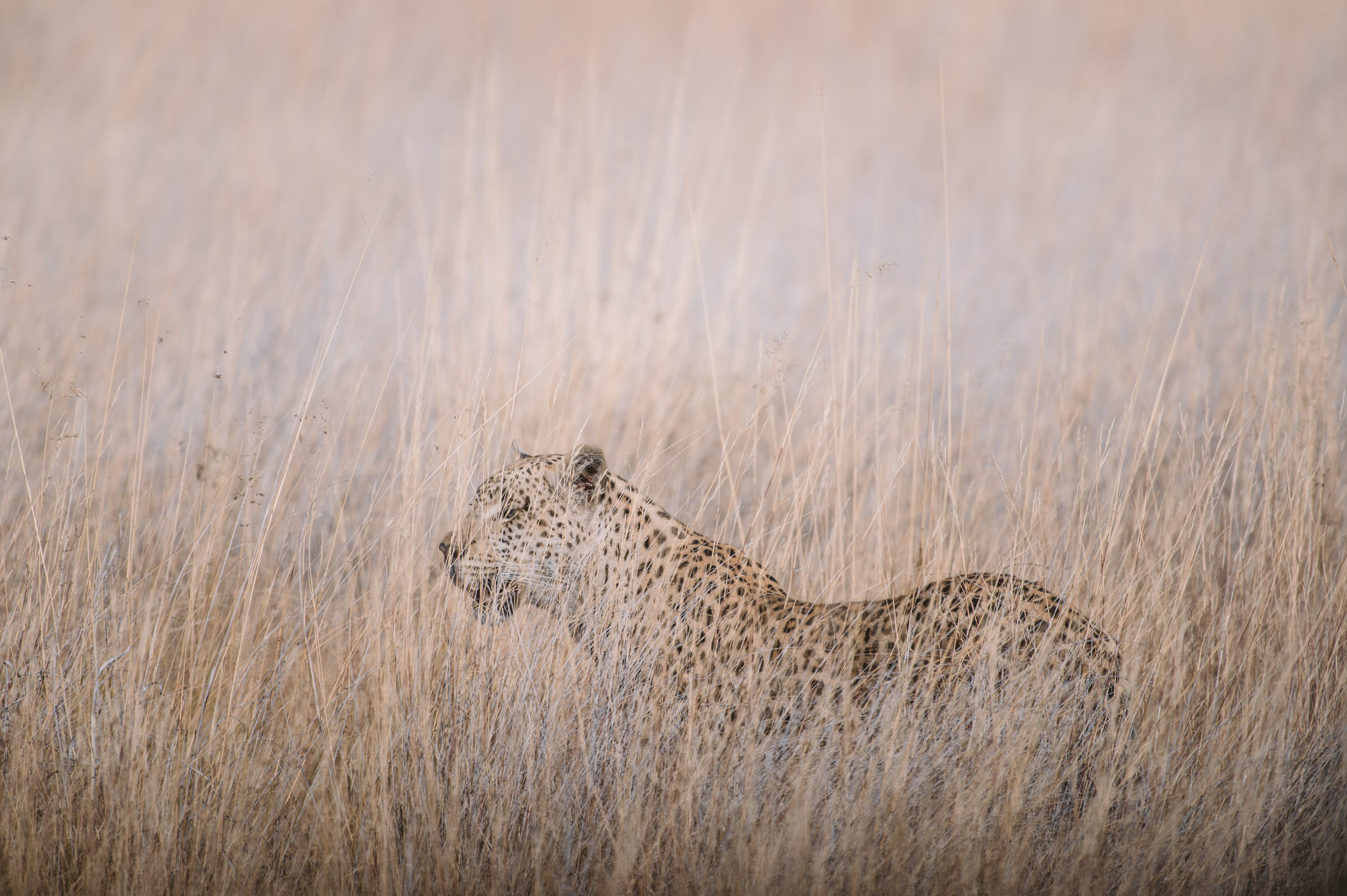 Leopard in the Okavango Delta in Botswana