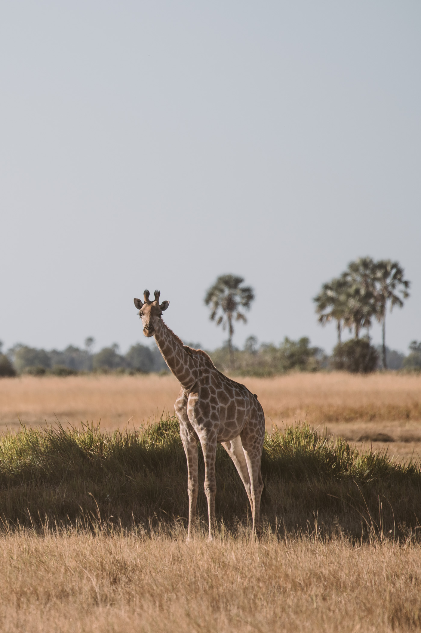 Giraffe in the Okavango Delta in Botswana