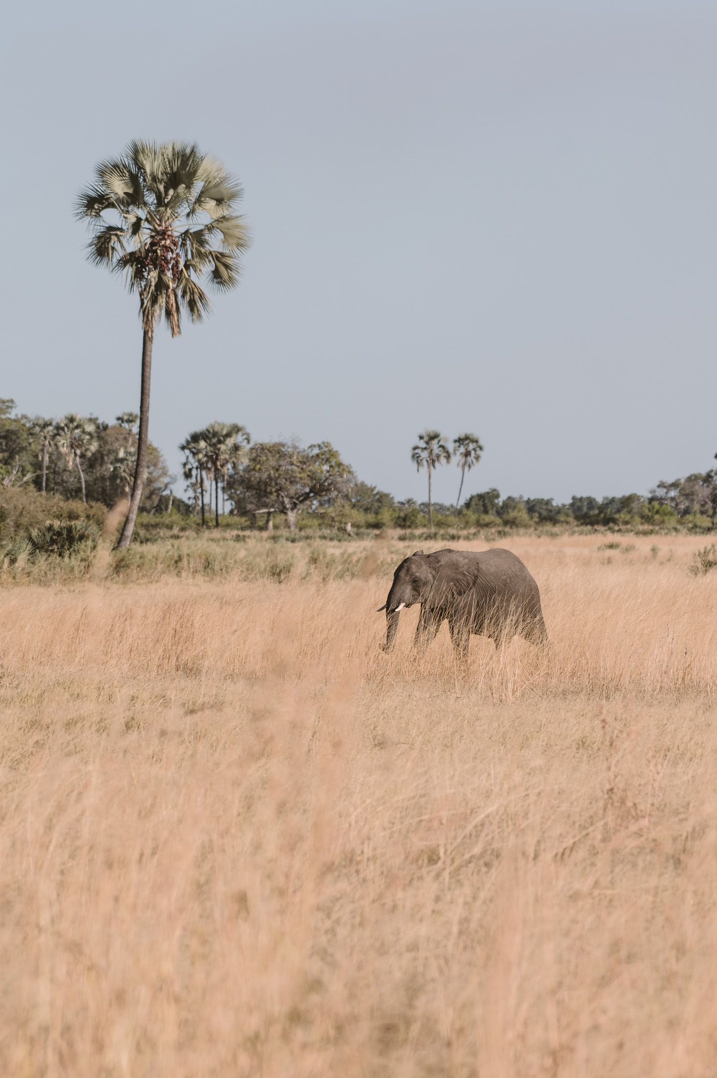 Elephant in the Okavango Delta in Botswana