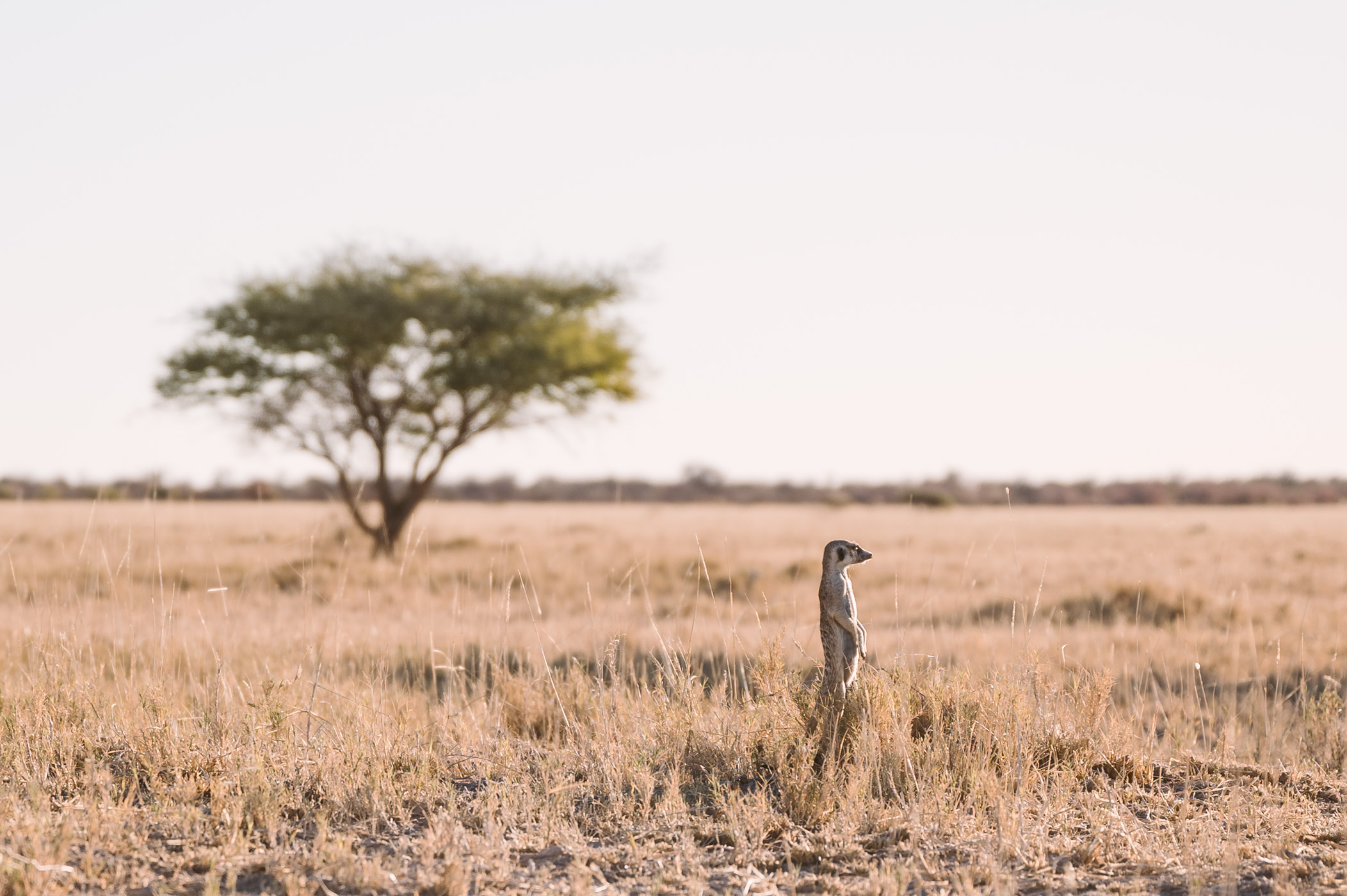A meerkat in the Makgadikgadi in Botswana