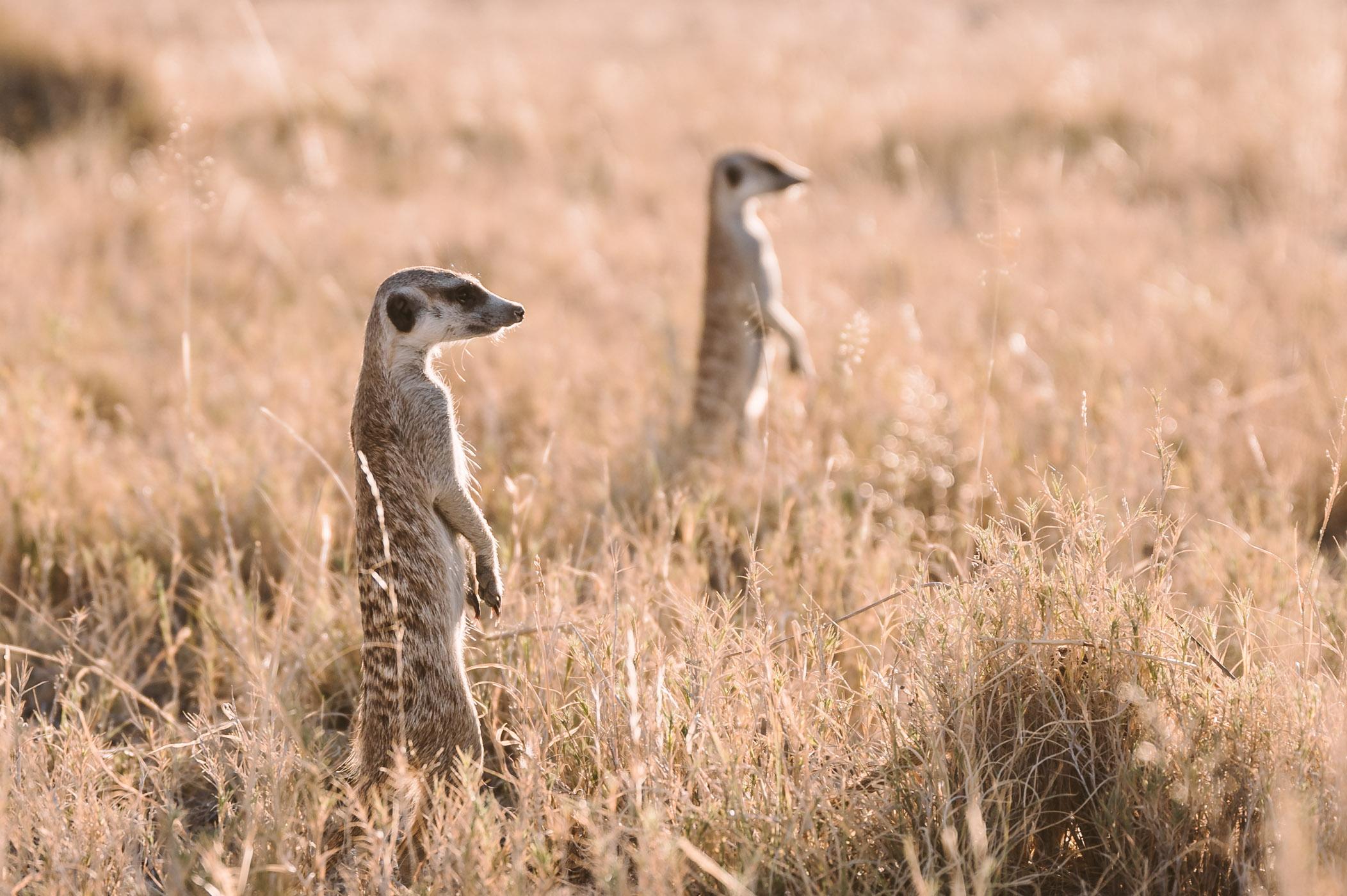Meerkats in the Makgadikgadi in Botswana