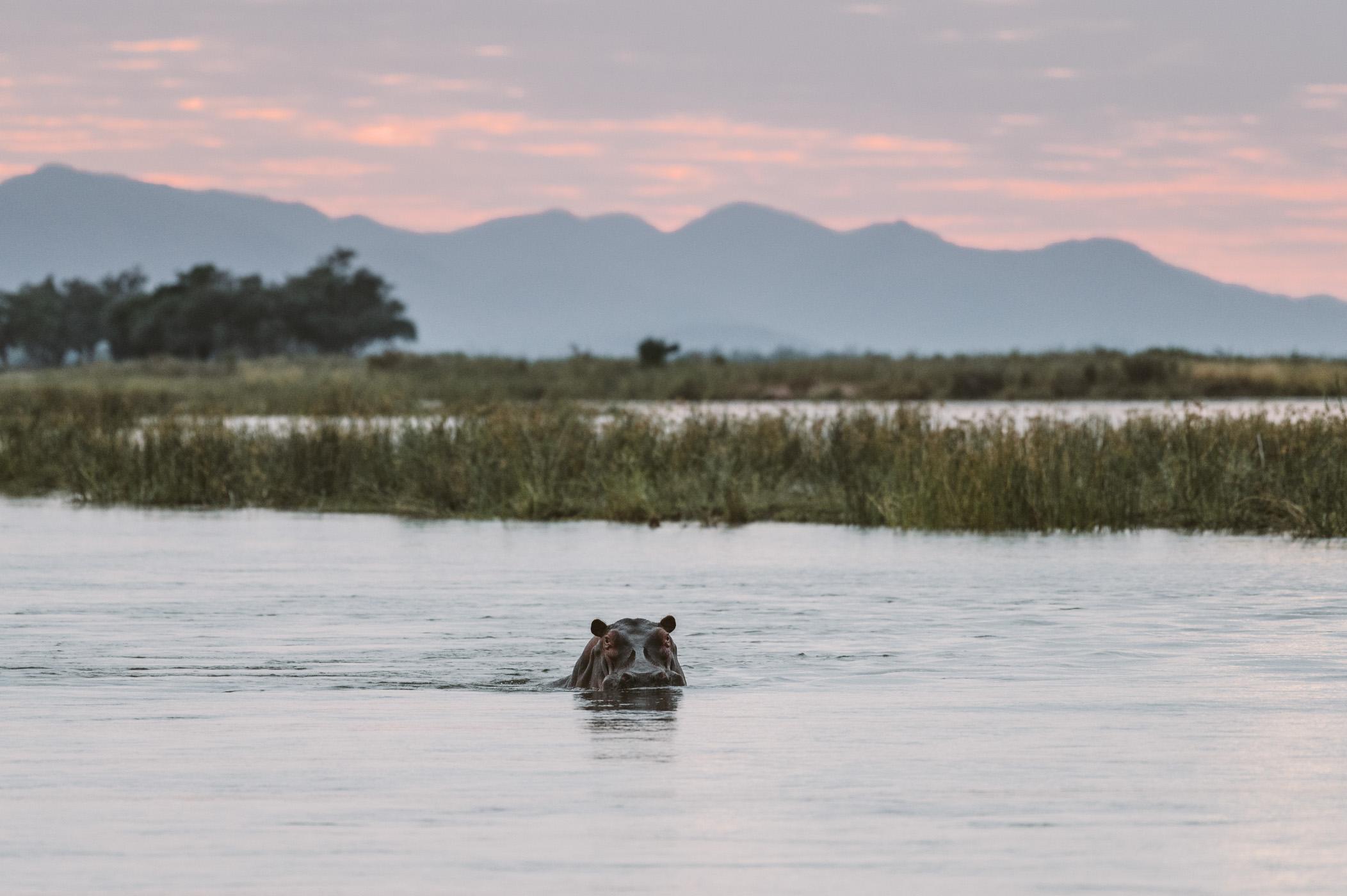 Hippo in the Lower Zambezi National Park Zambia