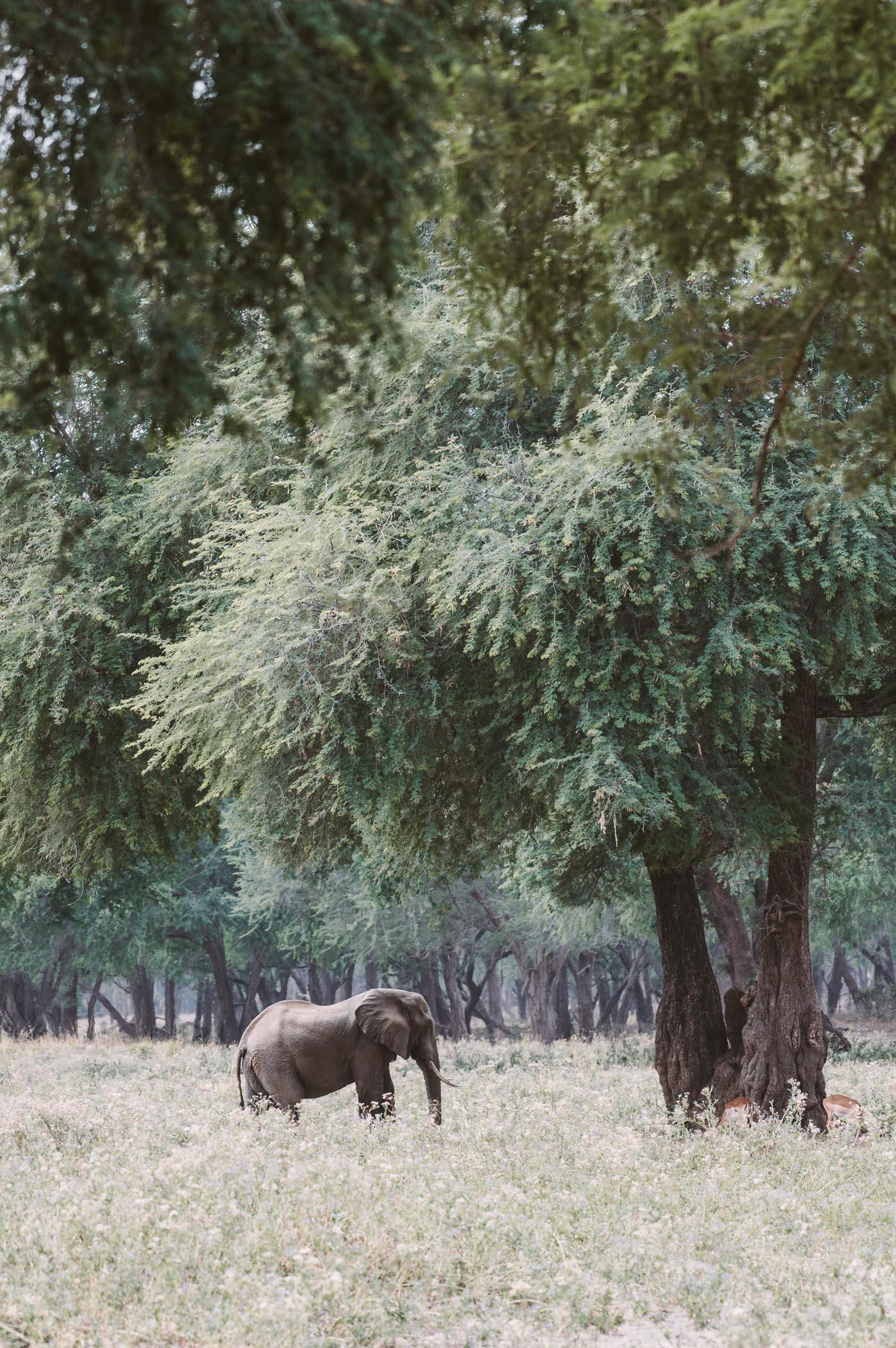 Elephant in the Lower Zambezi National Park Zambia