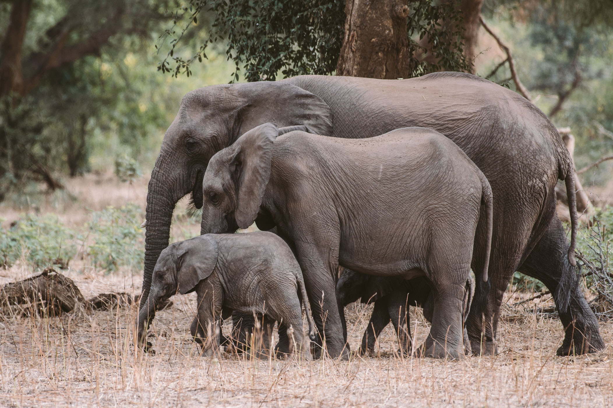 Elephants in the Lower zambezi National Park