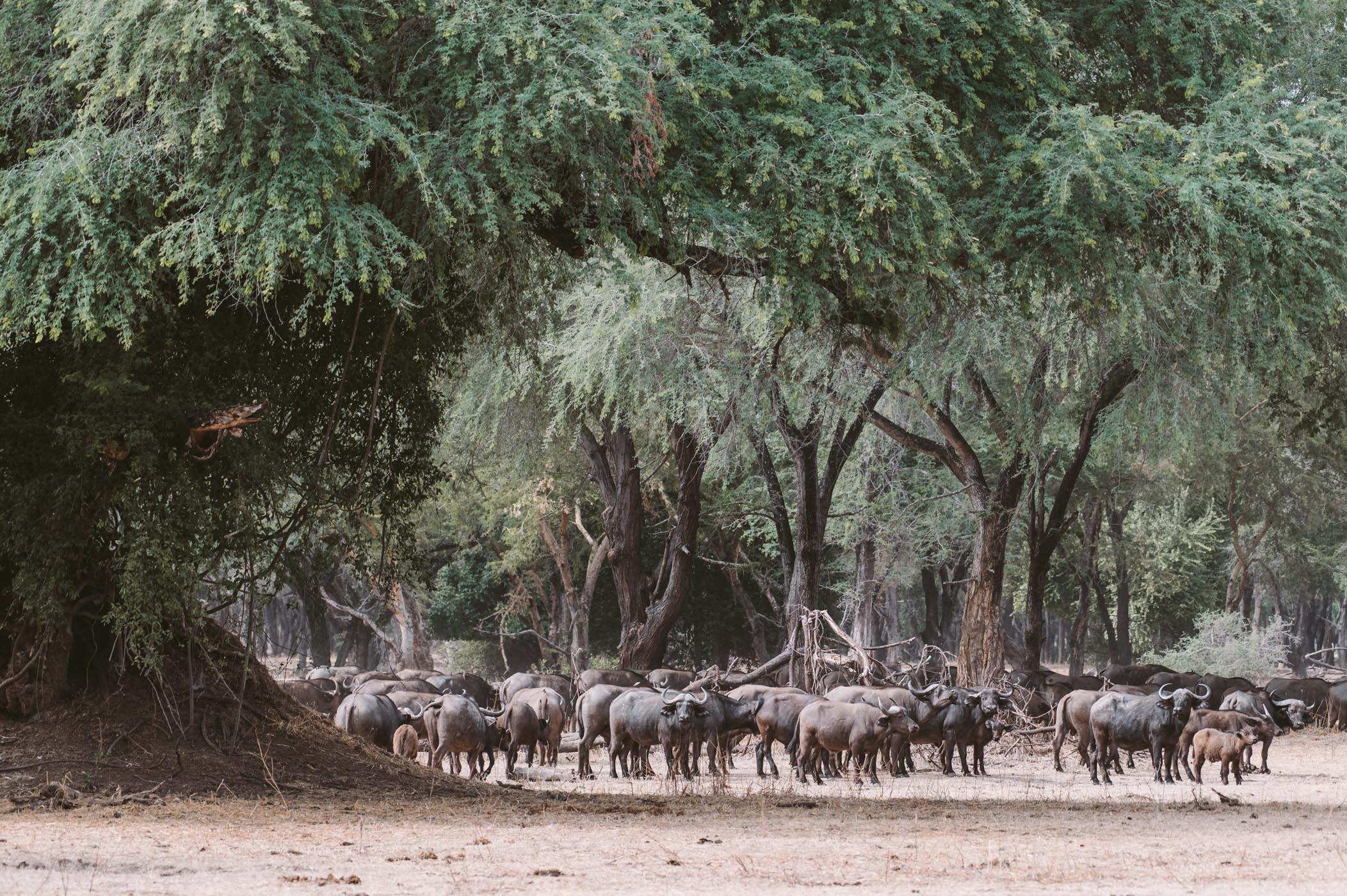 Buffalos at Lower Zambezi National Park Zambia