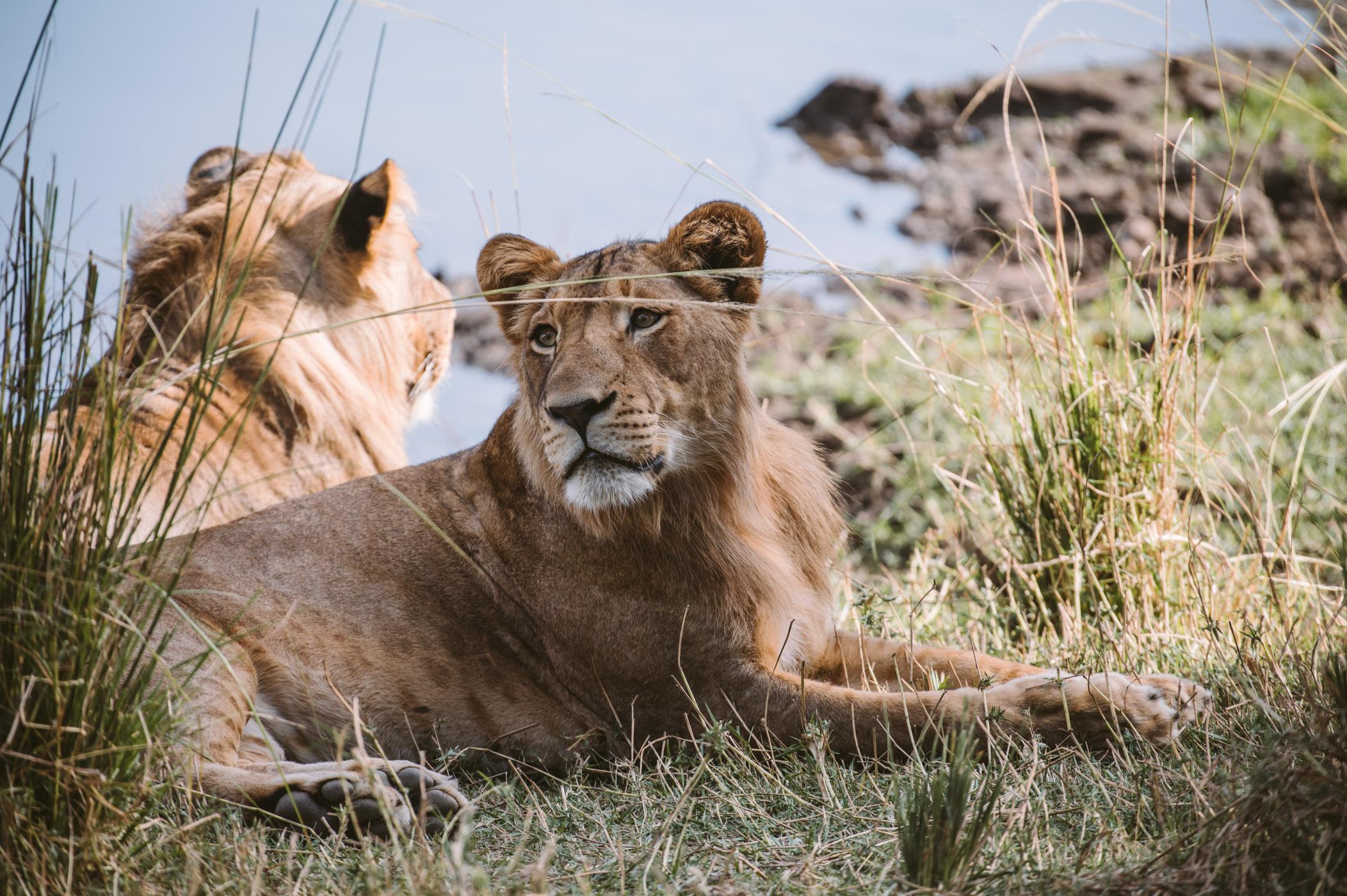 Lions in the Lower Zambezi National Park Zambia