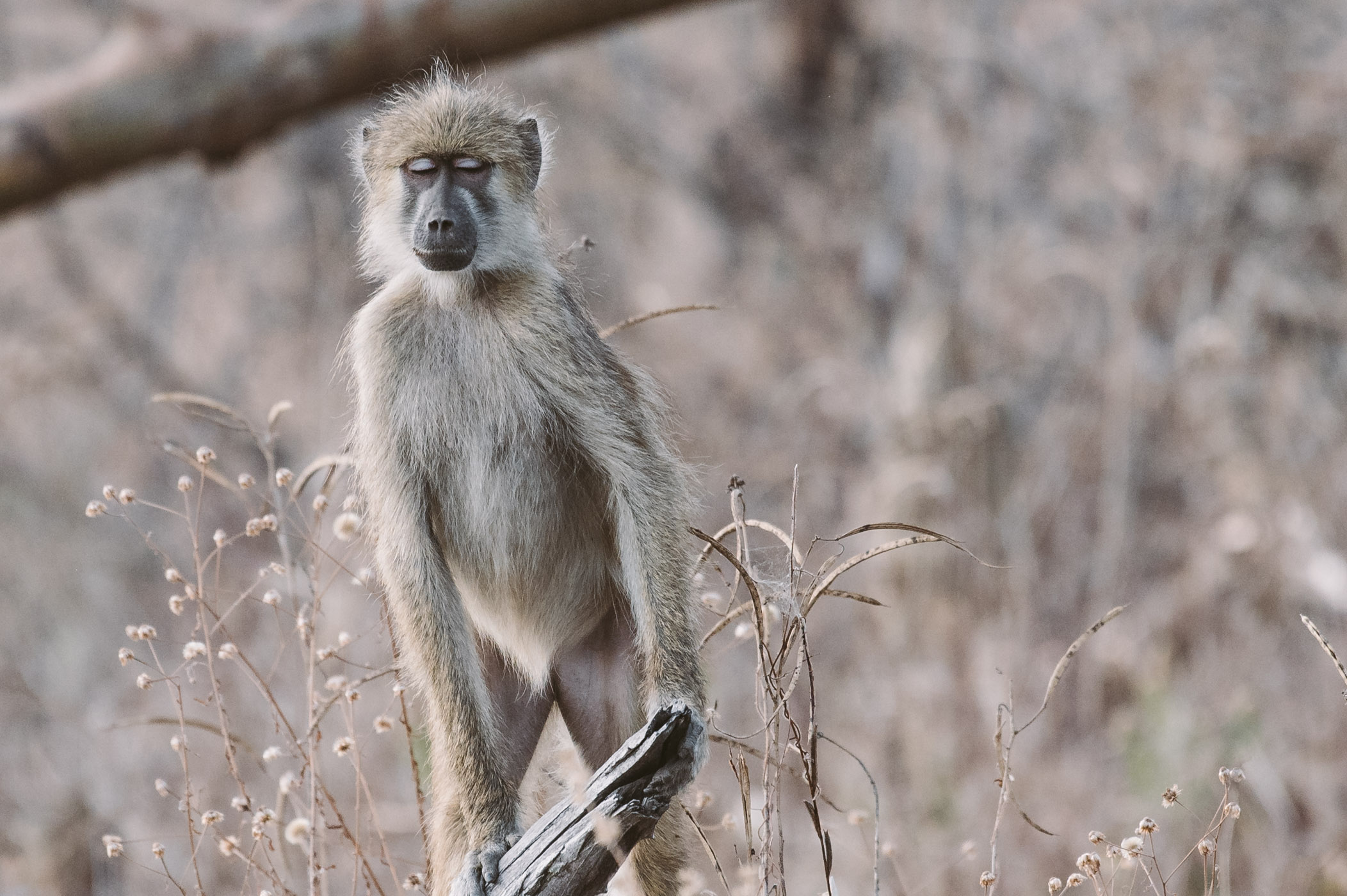 Baboon in South Luangwa National Park Zambia