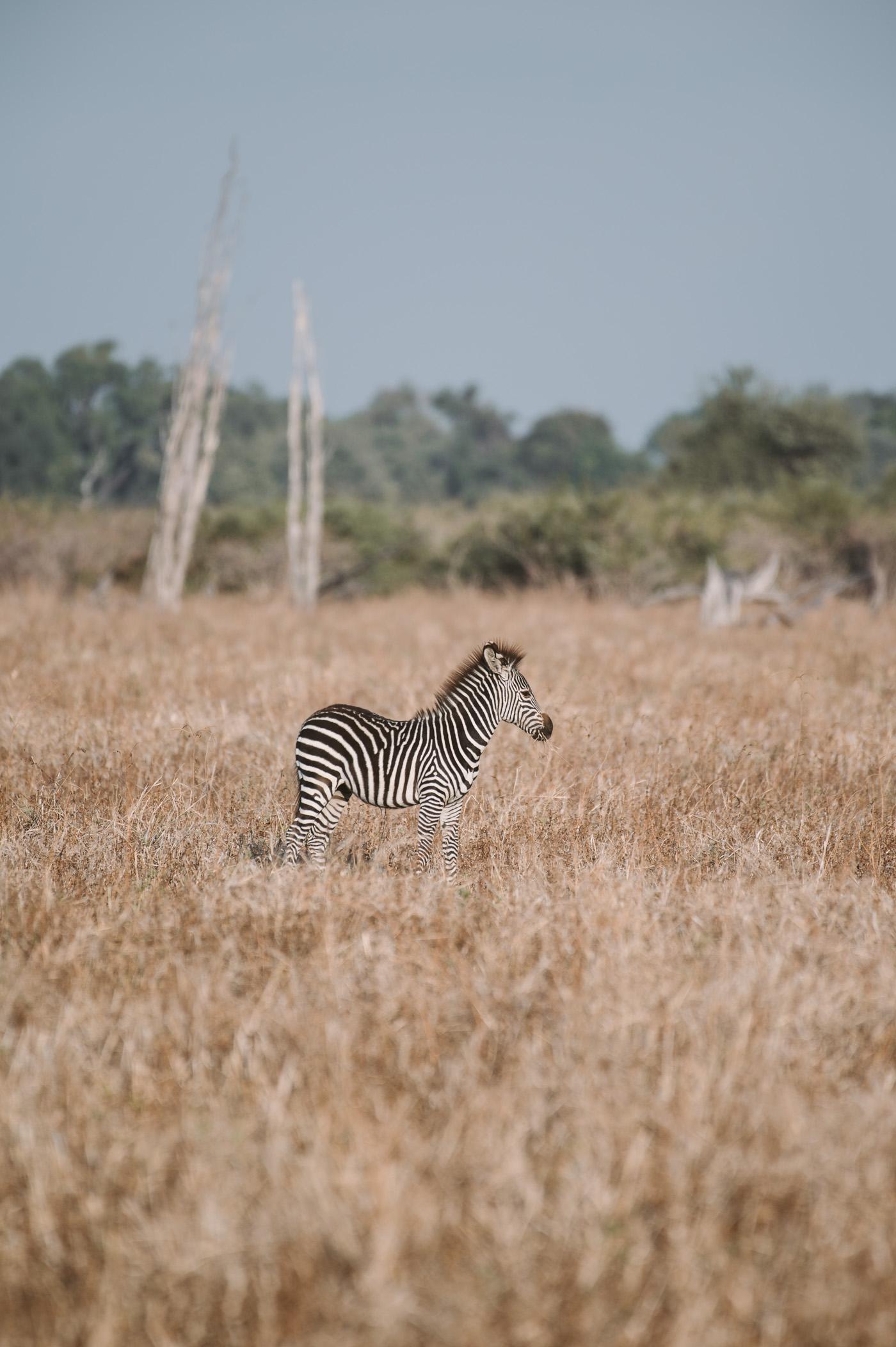 Zebra foal in South Luangwa National Park Zambia
