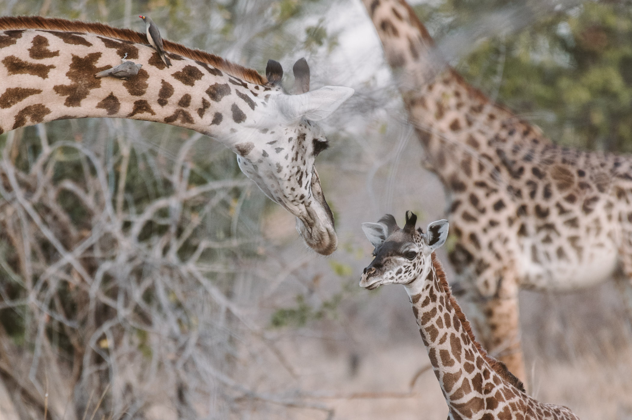 Giraffe with baby in South Luangwa National Park Zambia