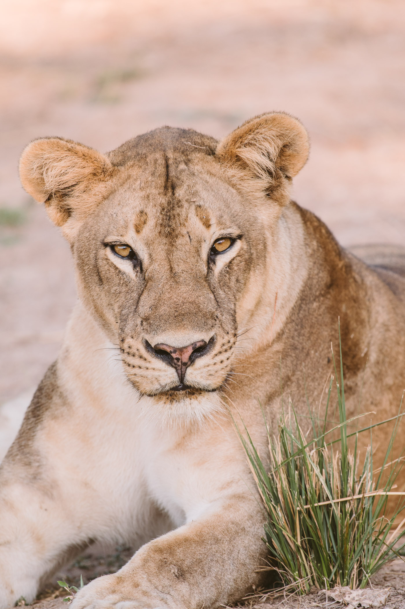 Young lion in South Luangwa National Park Zambia
