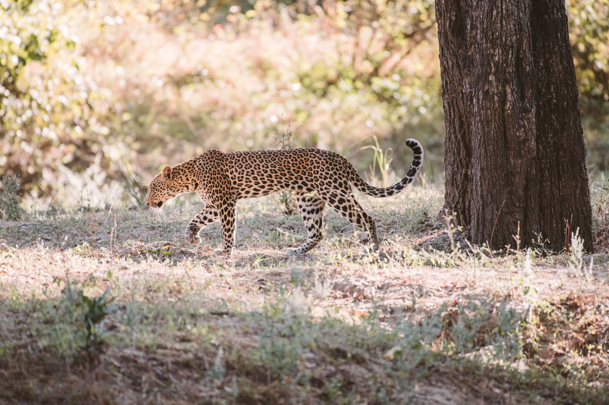 Leopard in South Luangwa National Park Zambia