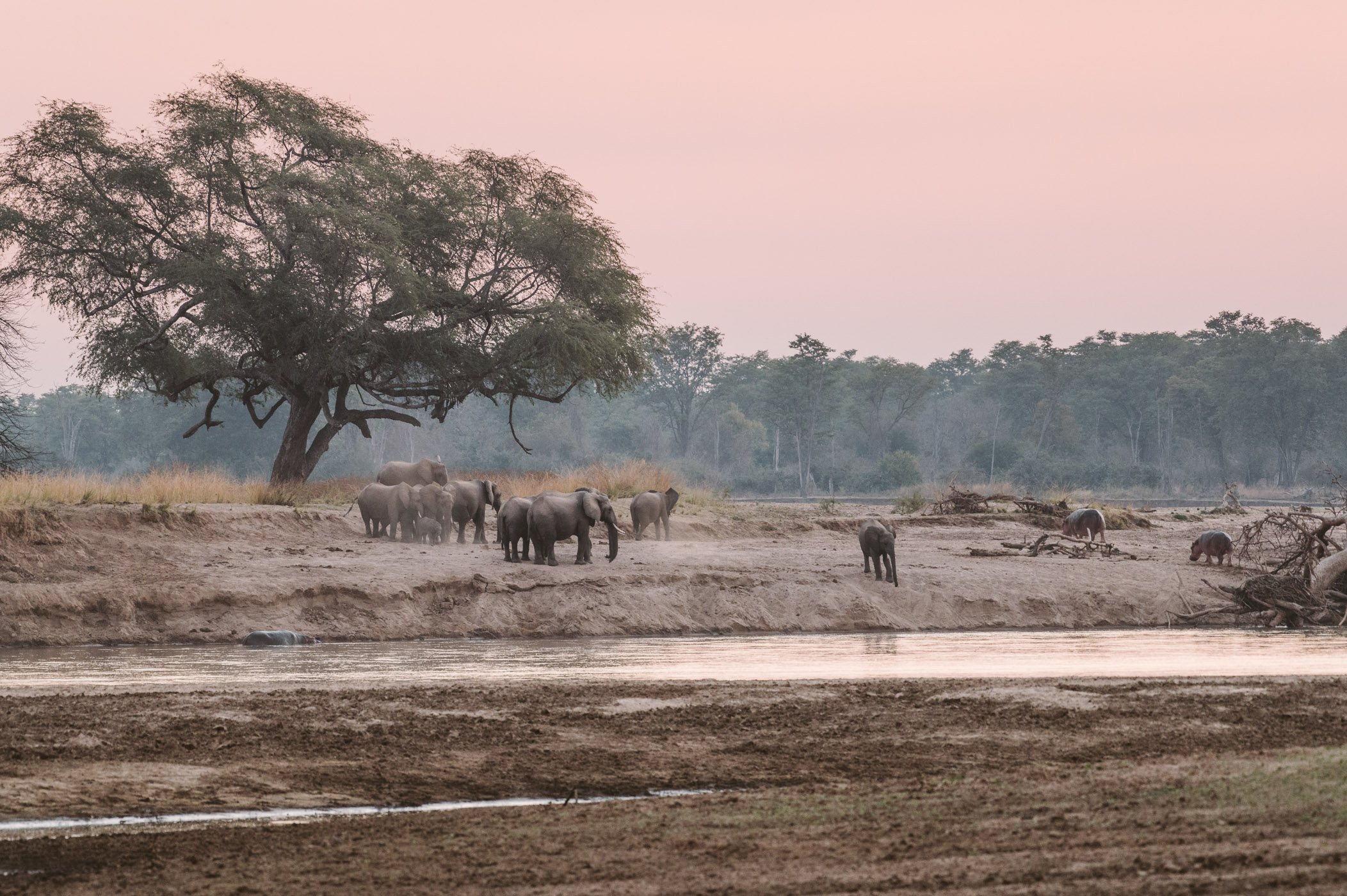 Elephant herd at the Luangwa river in South Luangwa National Park Zambia