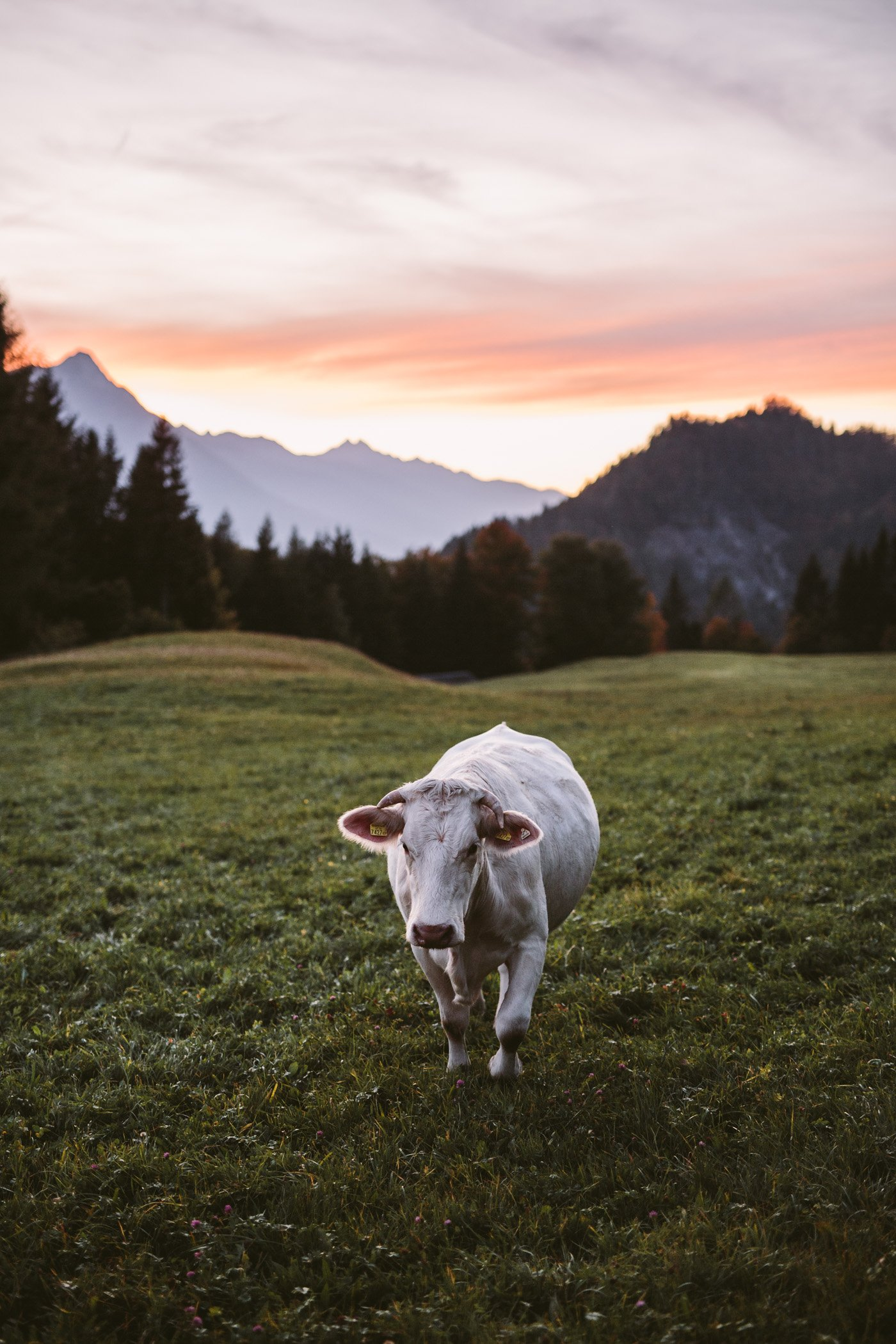 A cow in Carinthia Austria