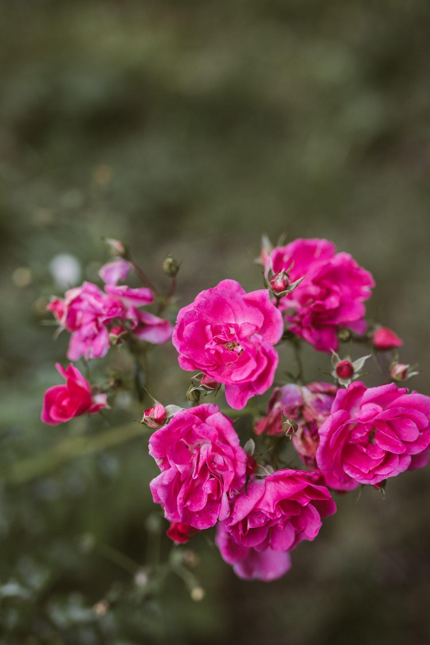 Roses in the garden of Der Daberer Biohotel