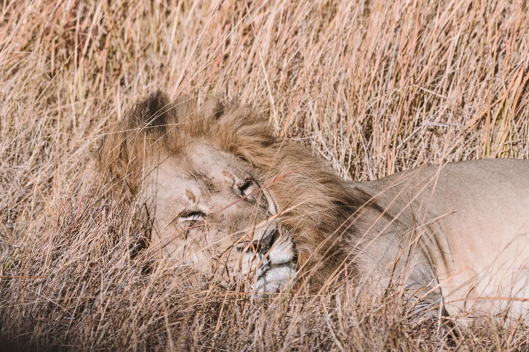 Lion in the Okavango Delta in Botswana