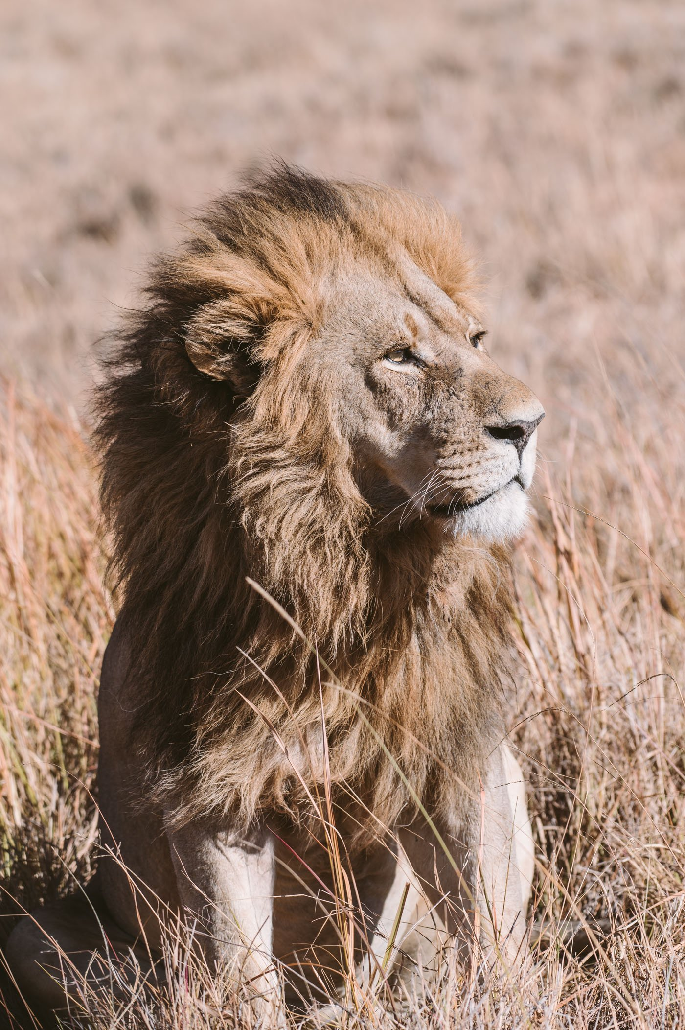 Lion in the Okavango Delta in Botswana