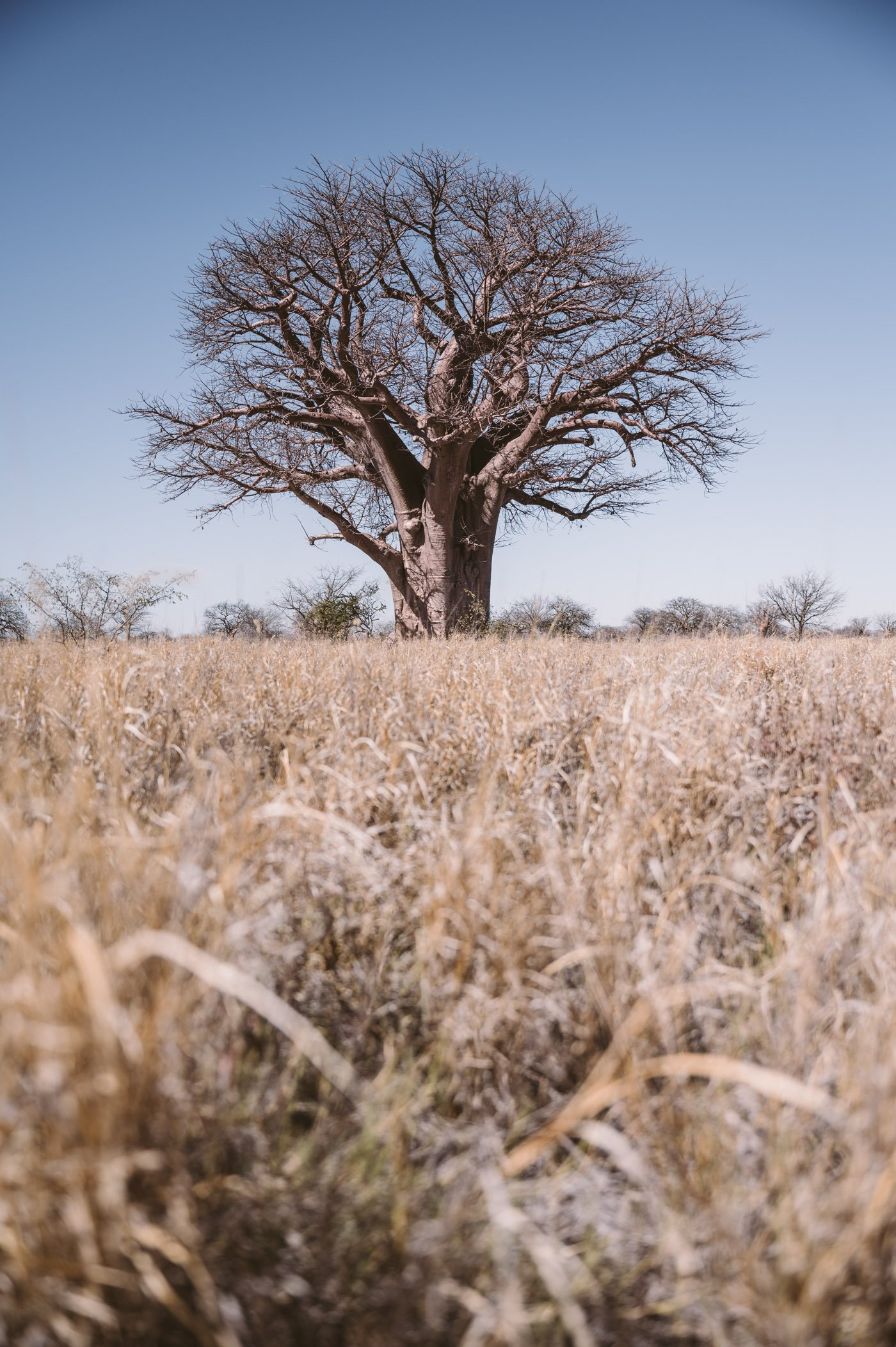 Baines Baobabs in the Nxai Pan National Park in Botswana