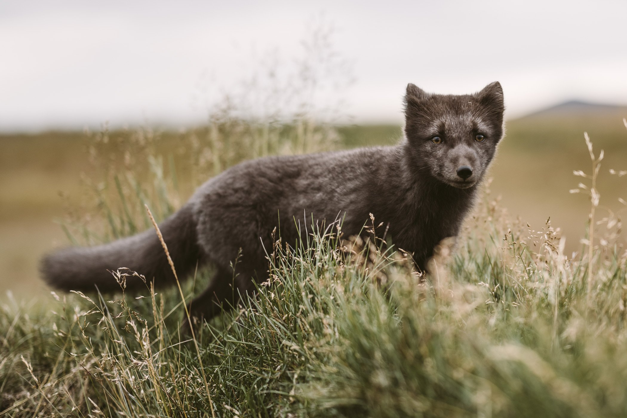 Arctic fox at Fjalladyrd guesthouse
