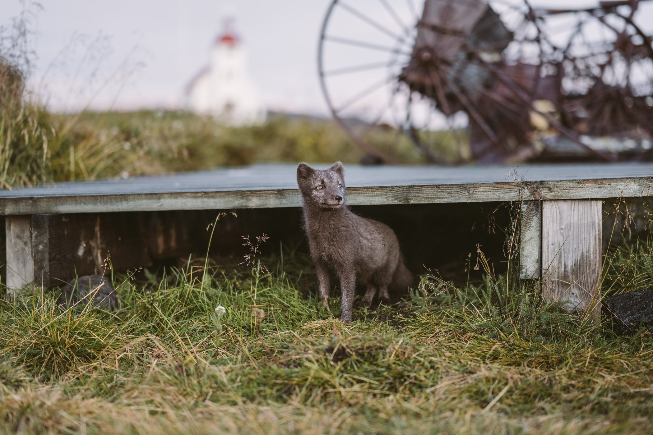 Arctic fox at Fjalladyrd Guesthouse Iceland