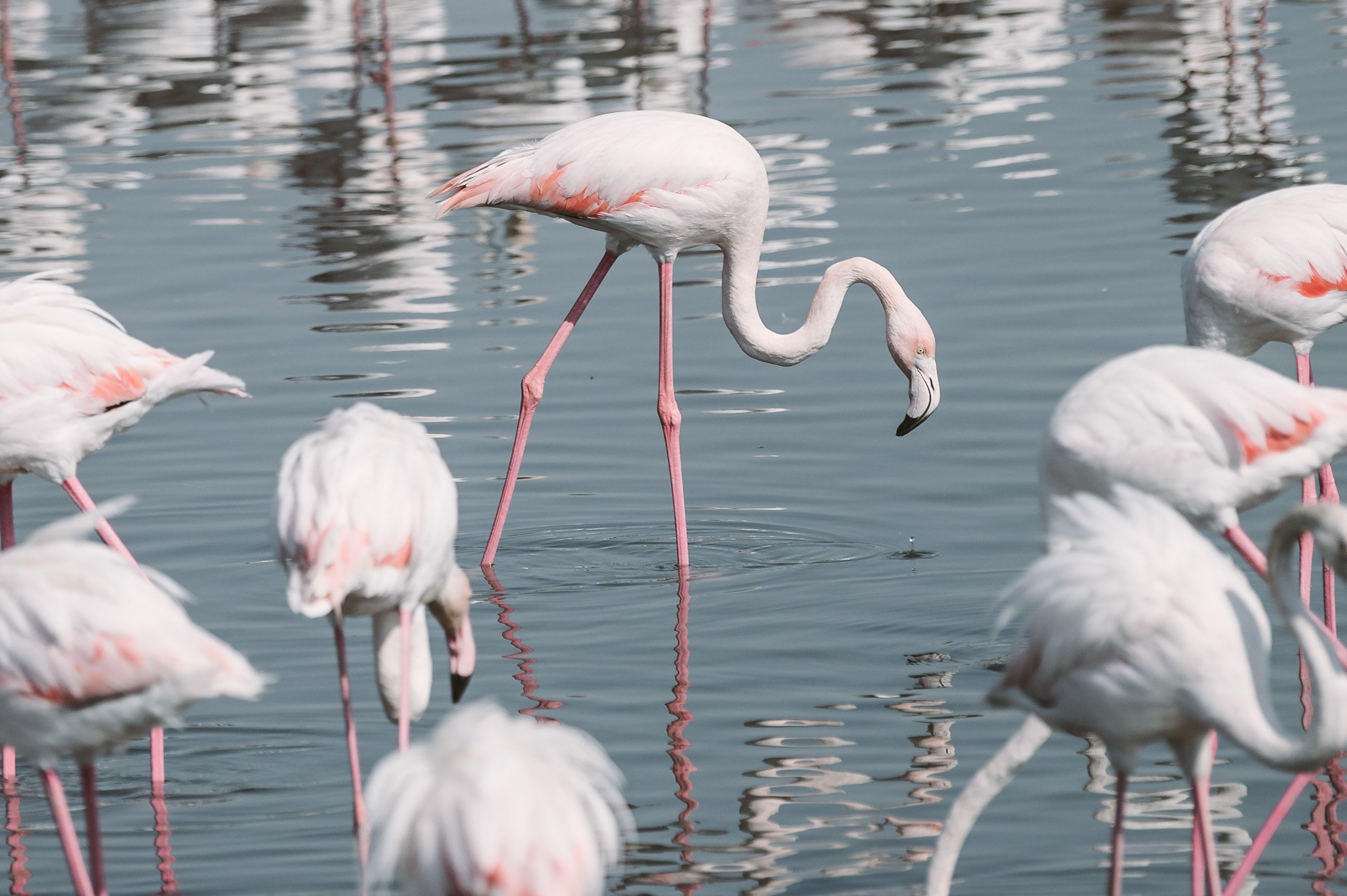 Flamingos at Ras Al Khor wildlife sanctuary Dubai